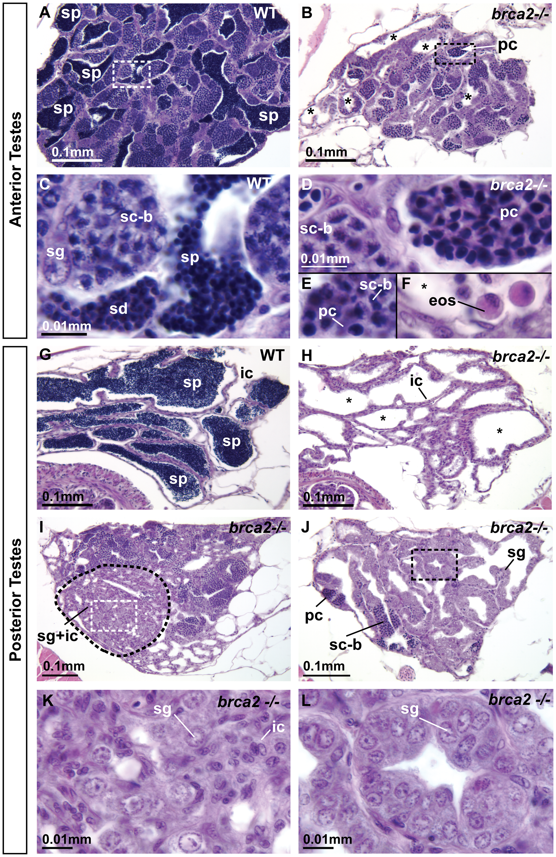 Adult <i>brca2</i> mutant testes showed meiotic arrest and lack of spermatids and sperm and developed neoplasias.