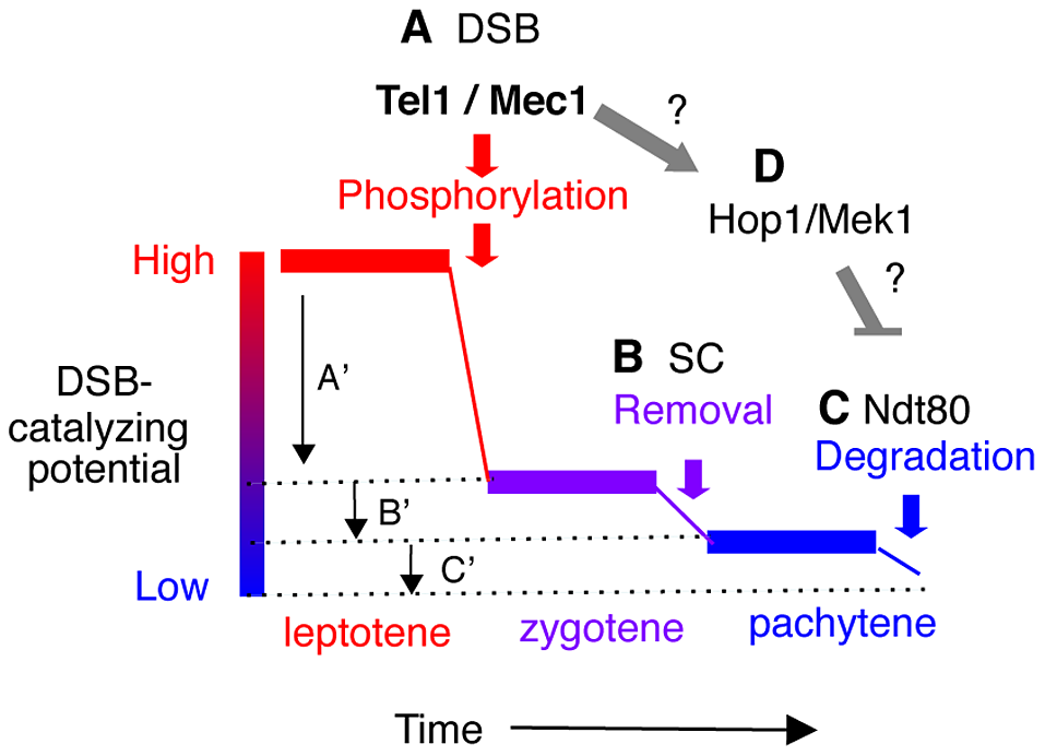 Model: Multiple mechanisms of regulating Rec114 contribute to meiotic DSB homeostasis.