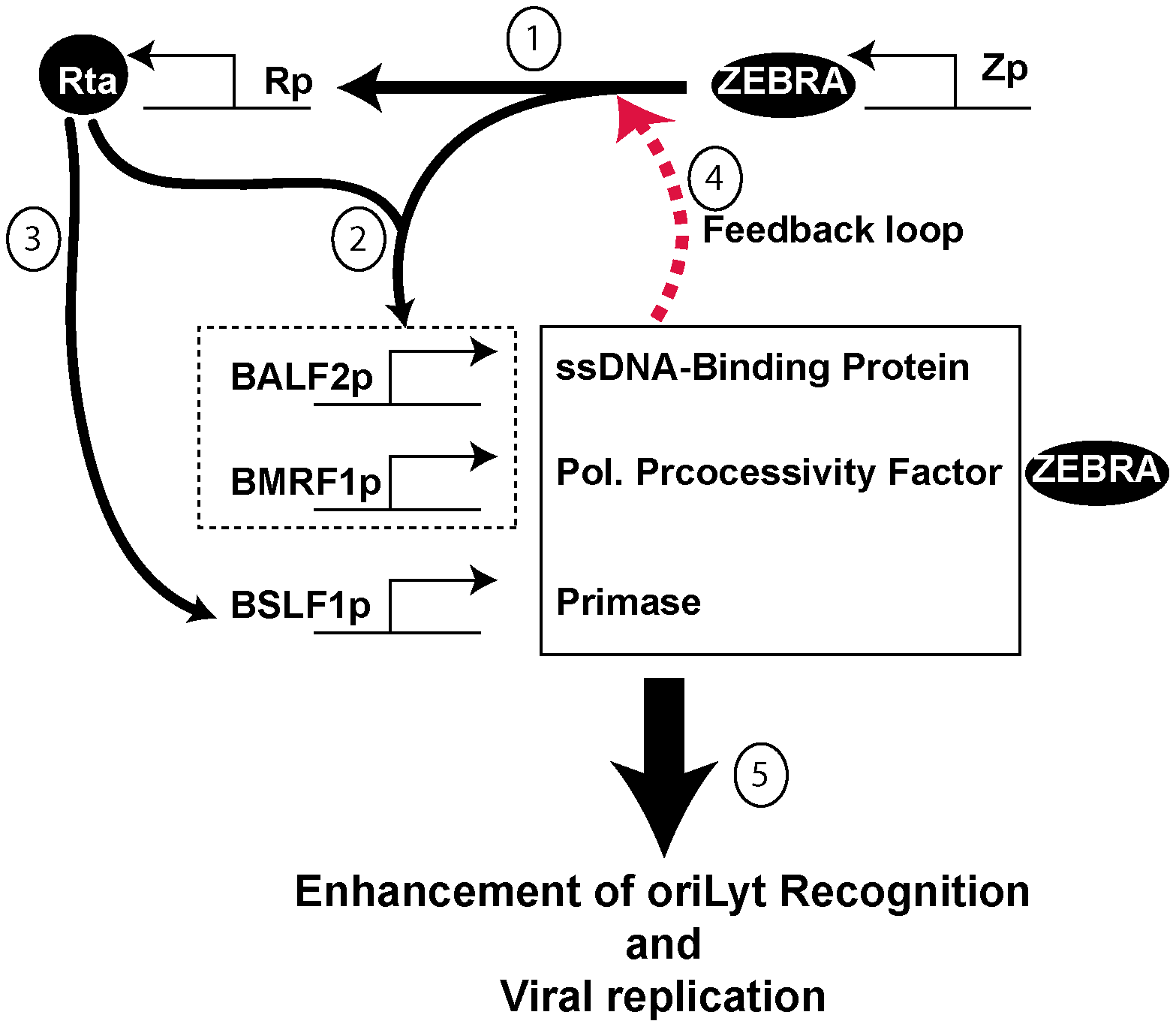 Proposed model for the role of BALF2, BMRF1 and BSLF1 in regulating viral replication.