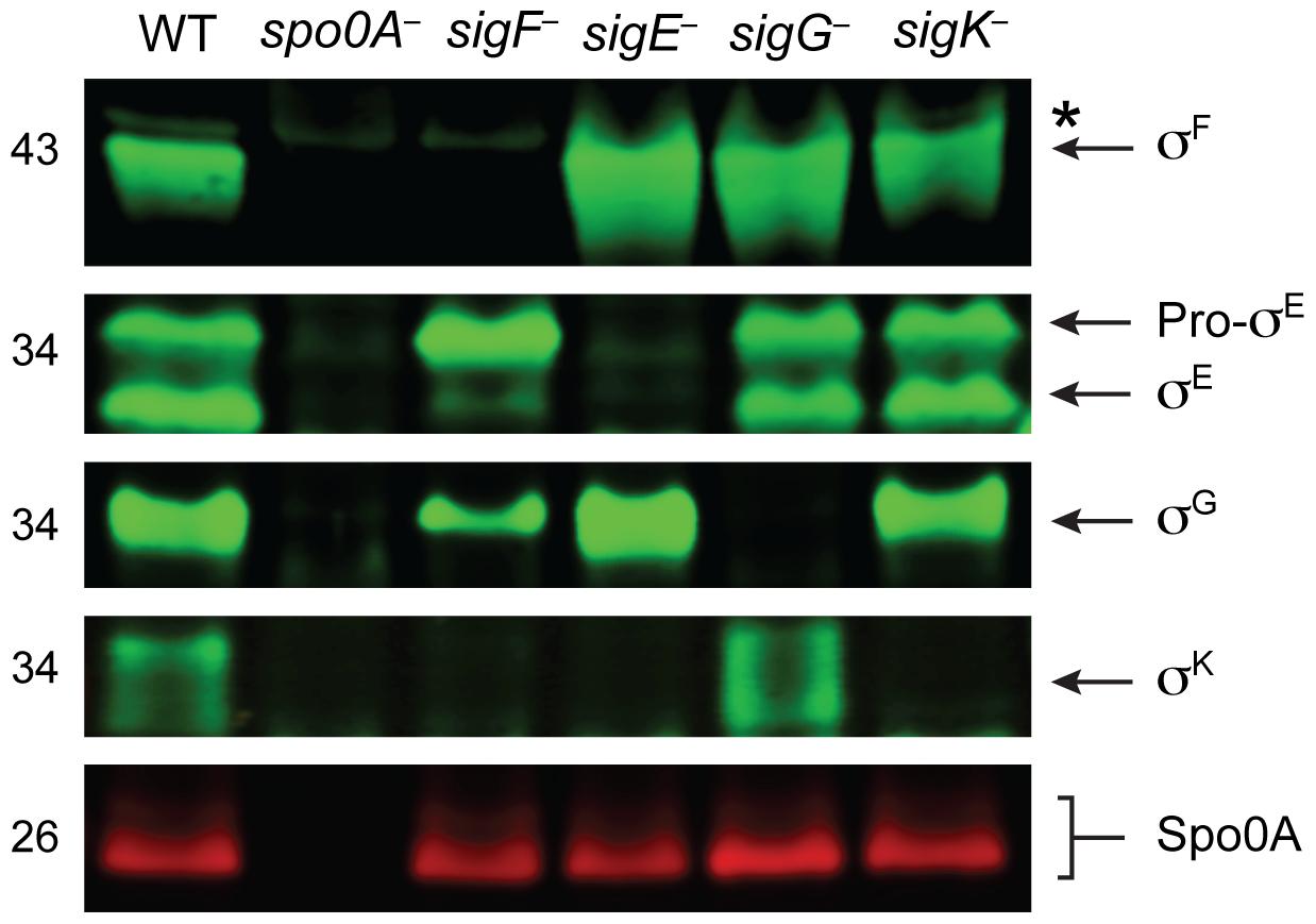 Analysis of sporulation sigma factor production in sporulation sigma factor mutants.