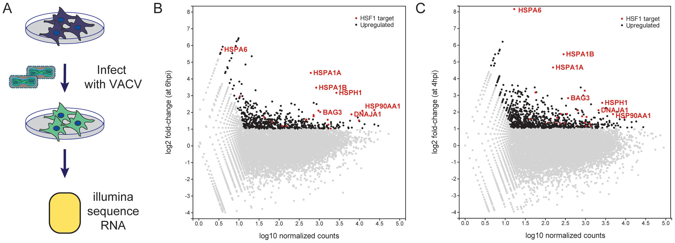 Host mRNA transcripts upregulated during VACV infection.