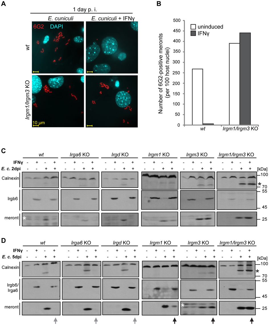 IFNγ suppressive effect on <i>E. cuniculi</i> growth is impaired in GMS-IRG knock-out cells.