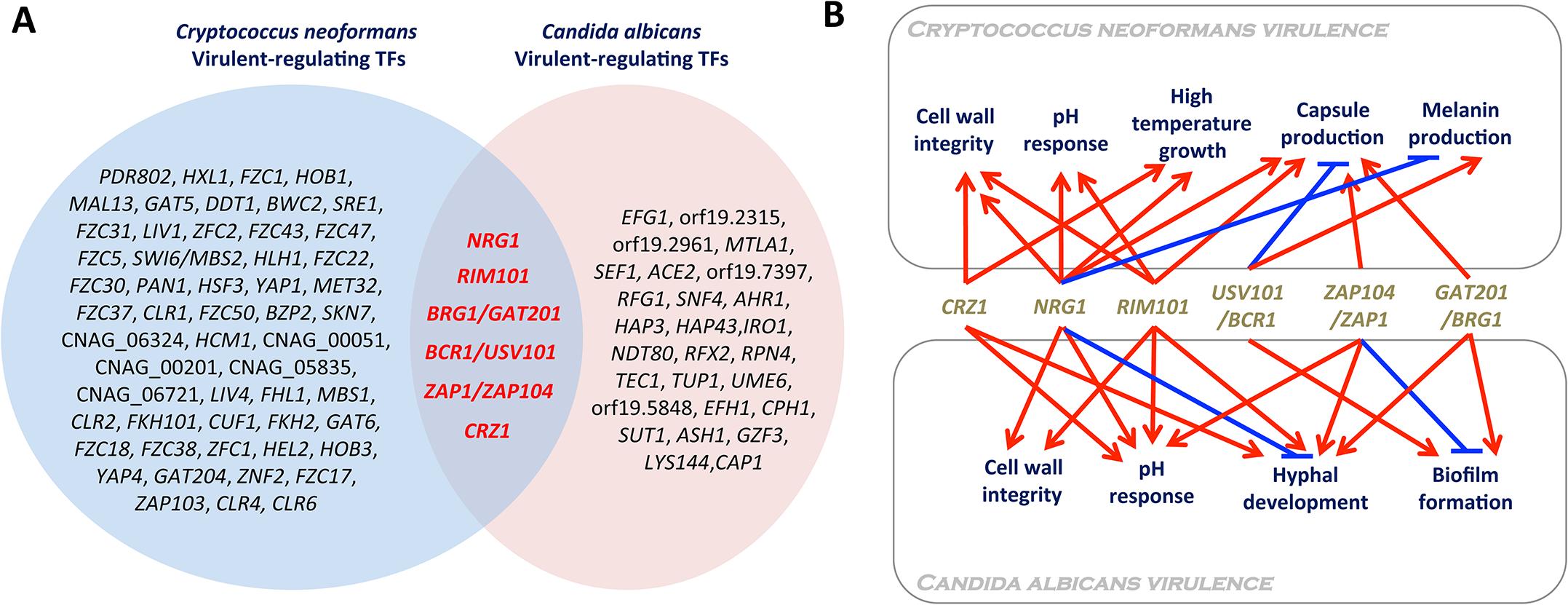 Virulence-regulating transcription factors in <i>Candida albicans</i> and <i>Cryptococcus neoformans</i>.