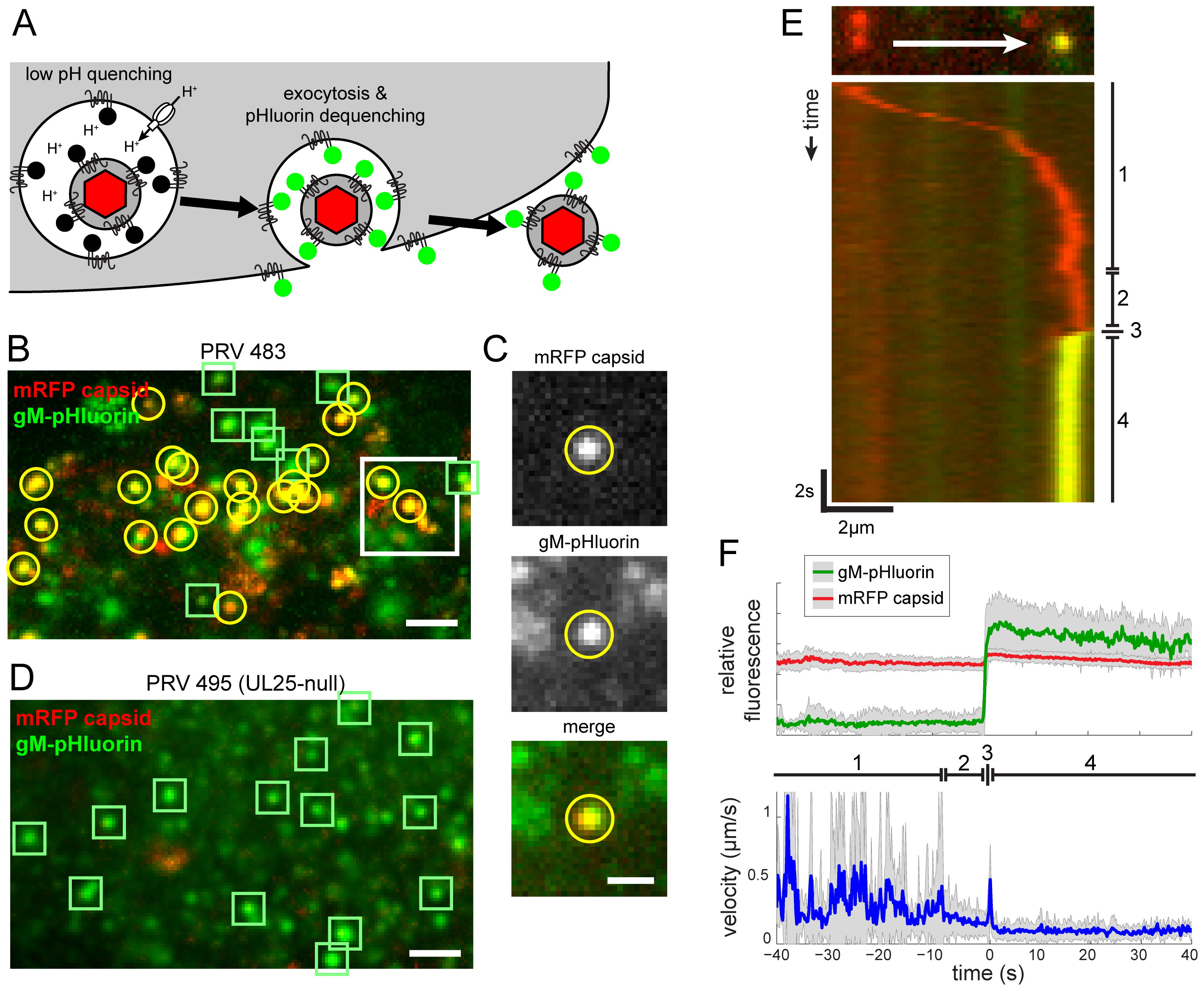 Live-cell fluorescence microscopy of particle transport and egress.