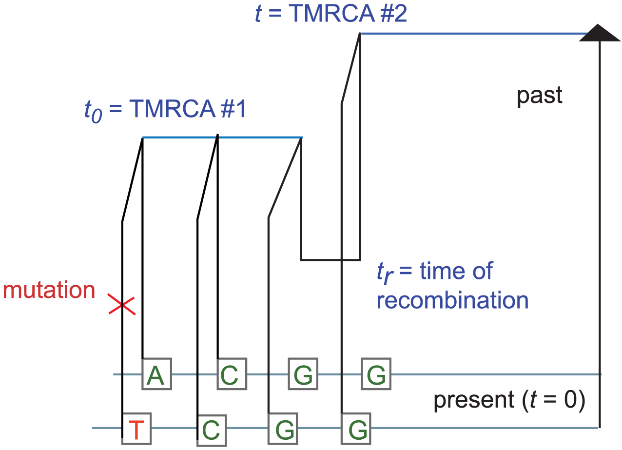 The coalescent with recombination and the sequentially Markov coalescent associate an observed pair of DNA sequences with a history that specifies a time to most recent common ancestry for each base pair.