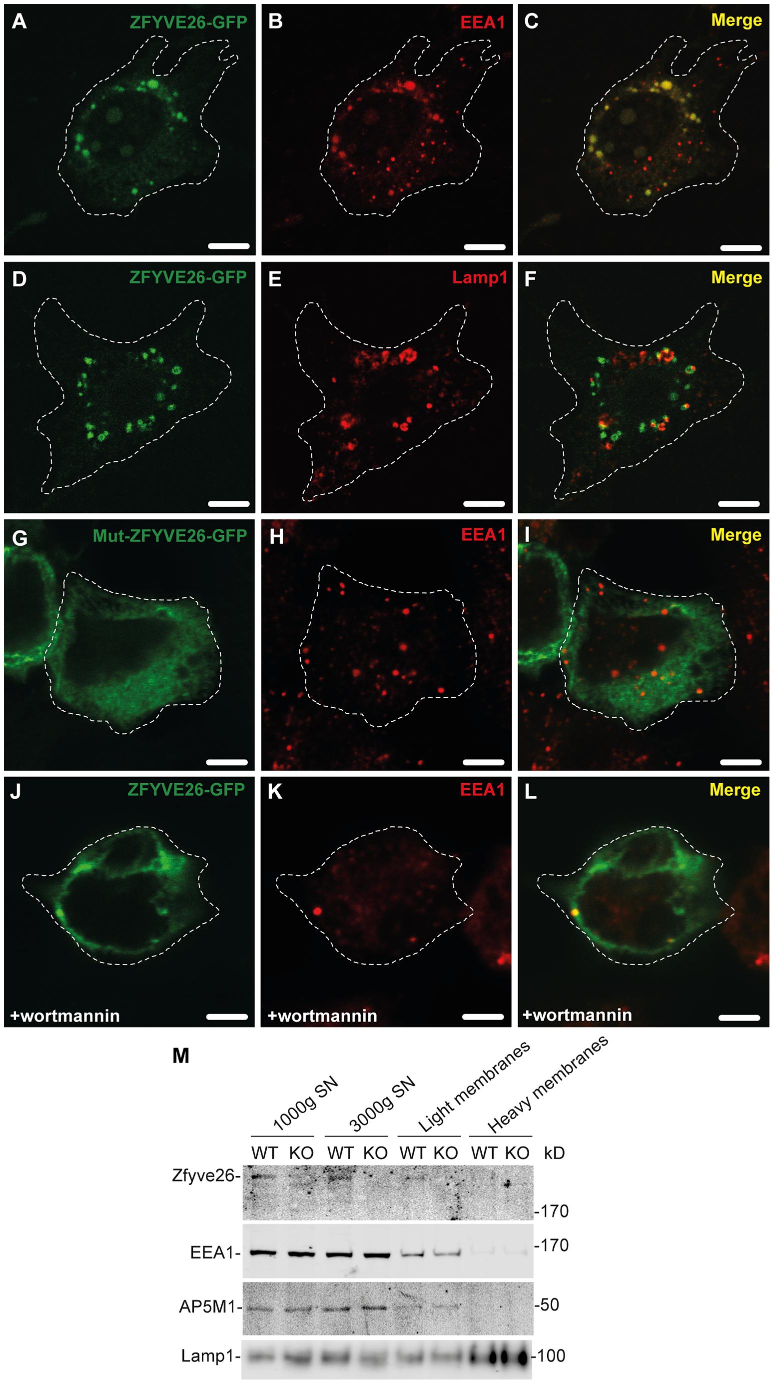 Zfyve26 is associated with endolysosomal membranes.