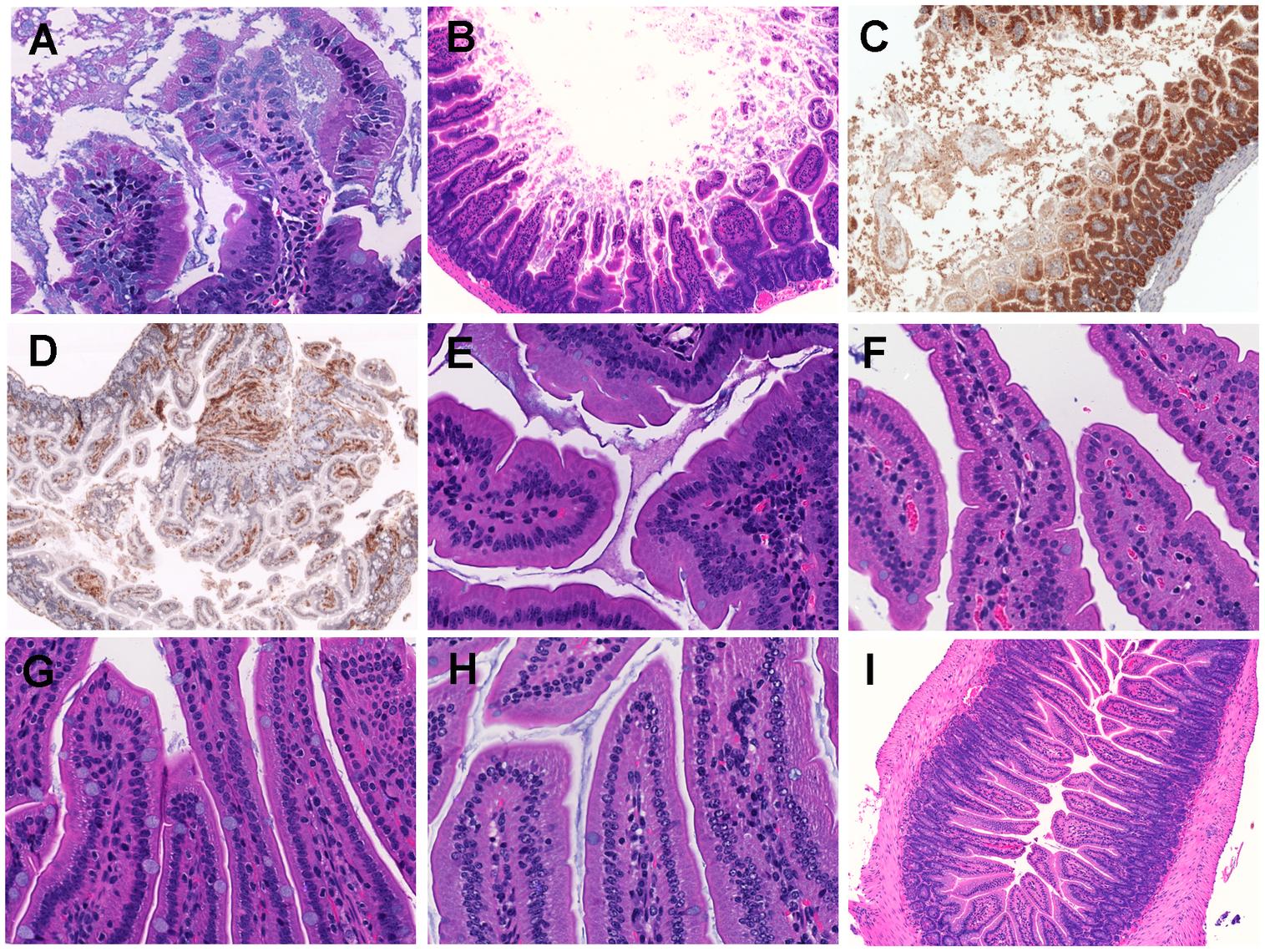 Histopathological examination of mice small intestine inoculated with <i>V. vulnificus</i> strains.