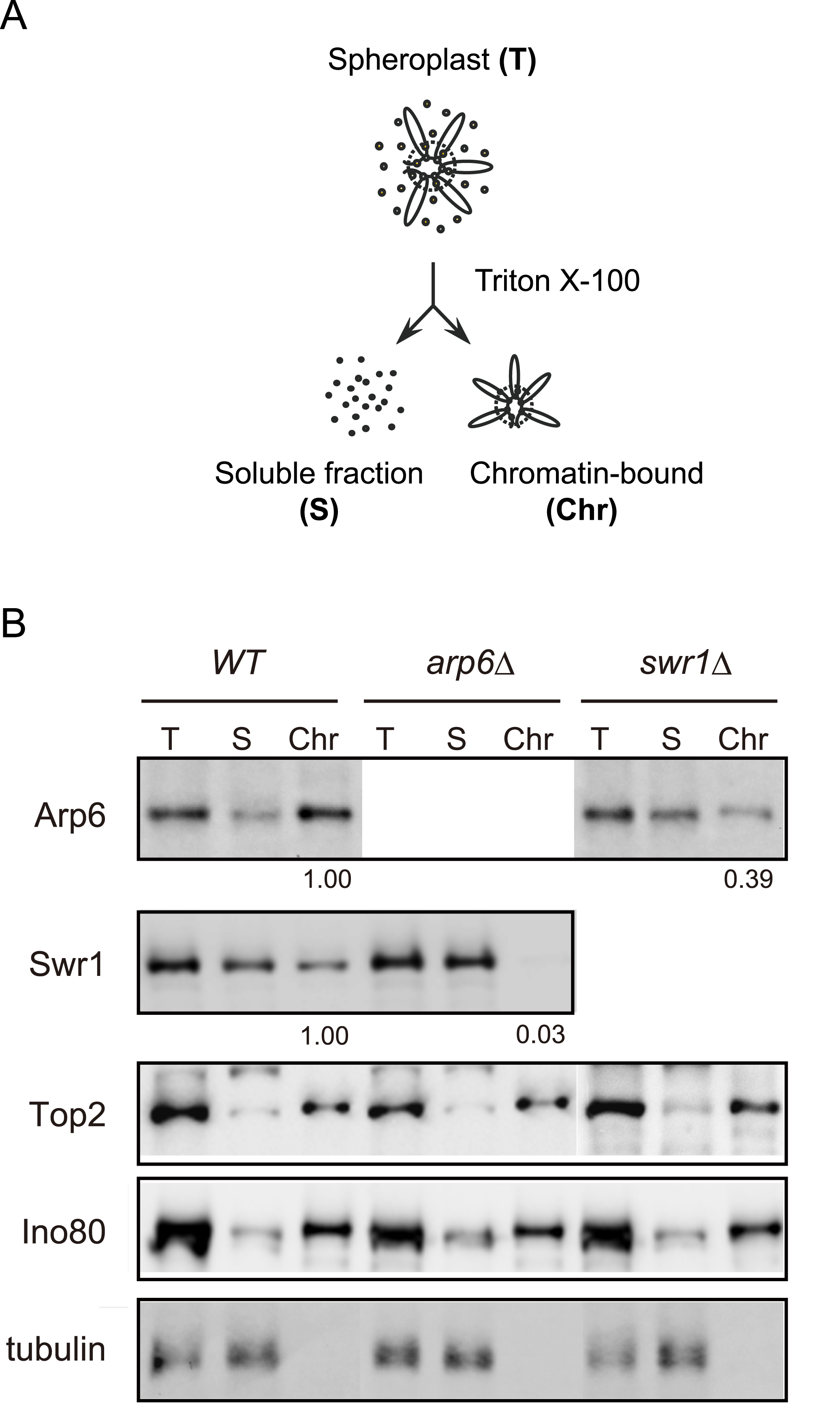 Arp6 partitions between soluble and insoluble chromatin fractions.