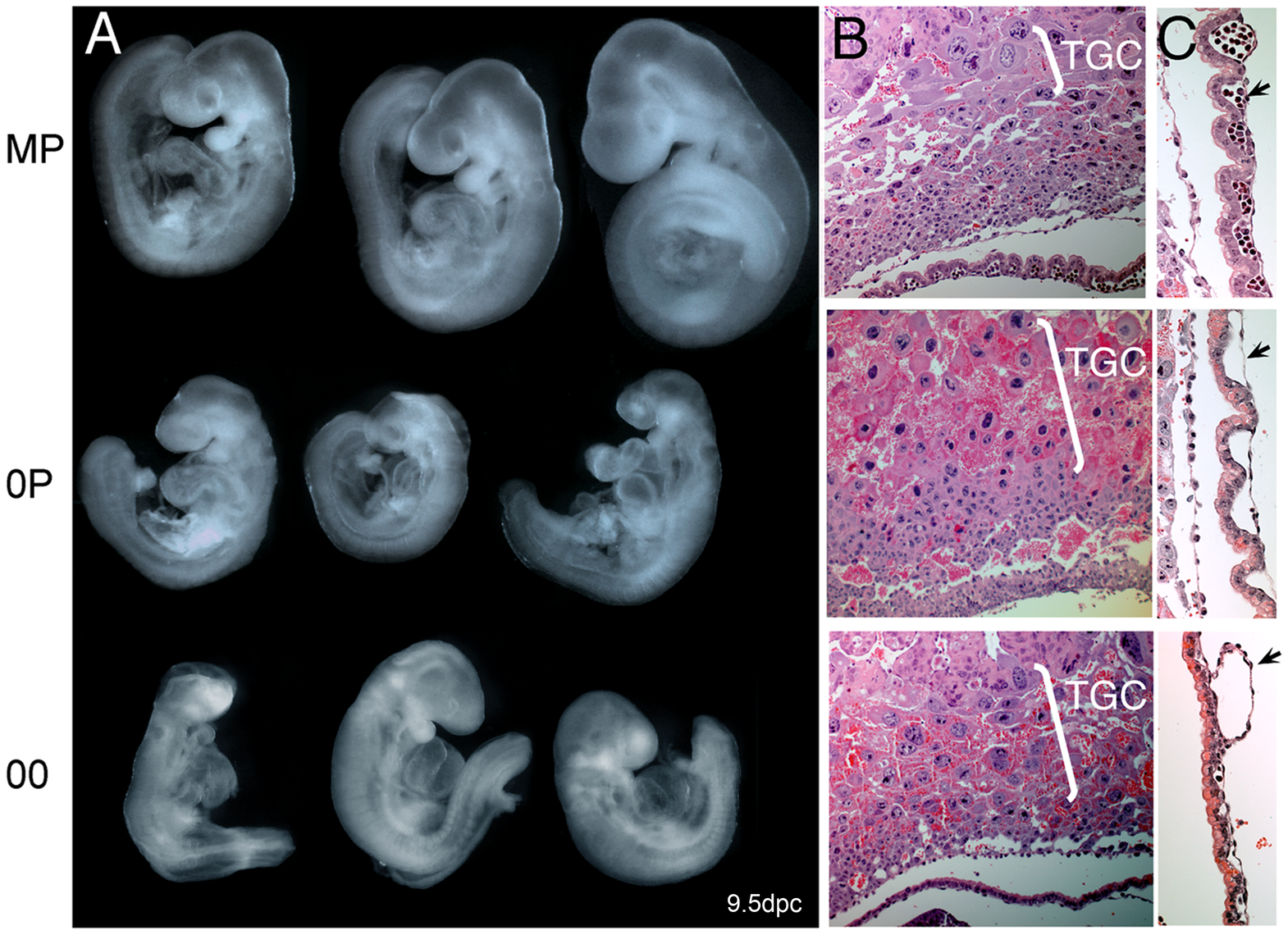 Net effects of loss of paternal and maternal germline imprints on early mouse development.