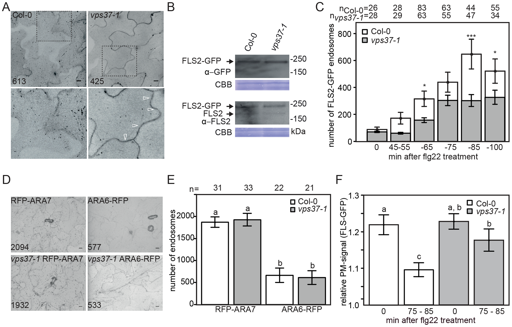 Flg22-induced endocytosis of FLS2 is compromised in <i>vps37-1</i> mutants but not steady-state ARA6/RabF1 and ARA7/RabF2b endosomal numbers.