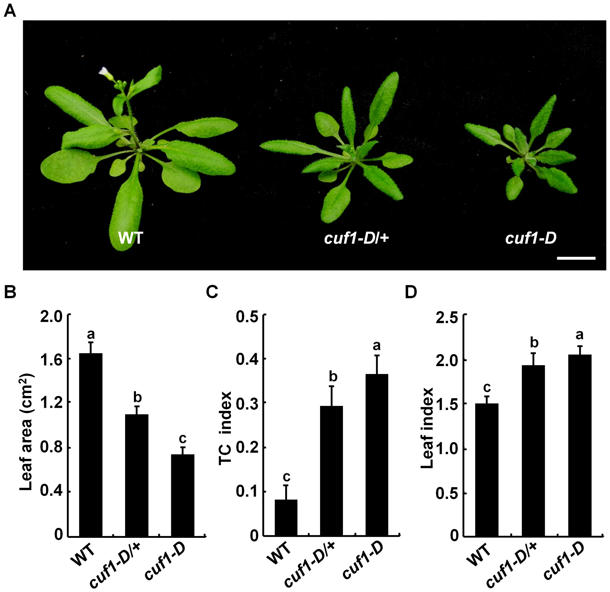 Phenotype of <i>cuf1-D</i> plants.