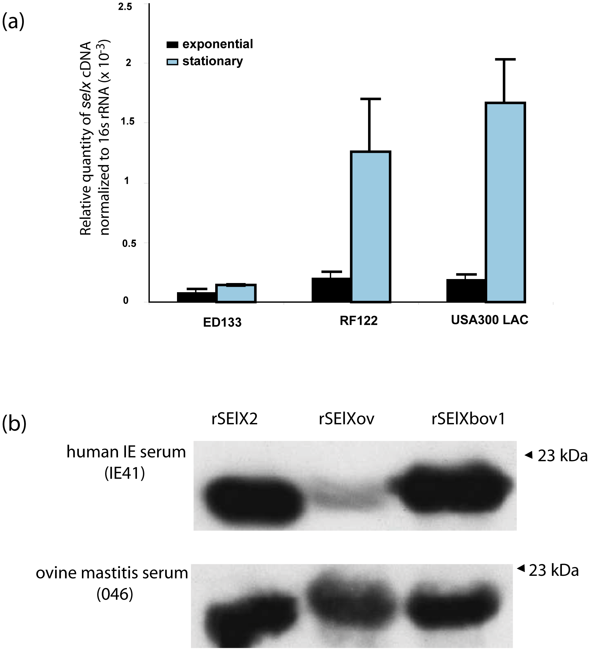 SElX is expressed by clinical isolates <i>in vitro</i> and during infection.