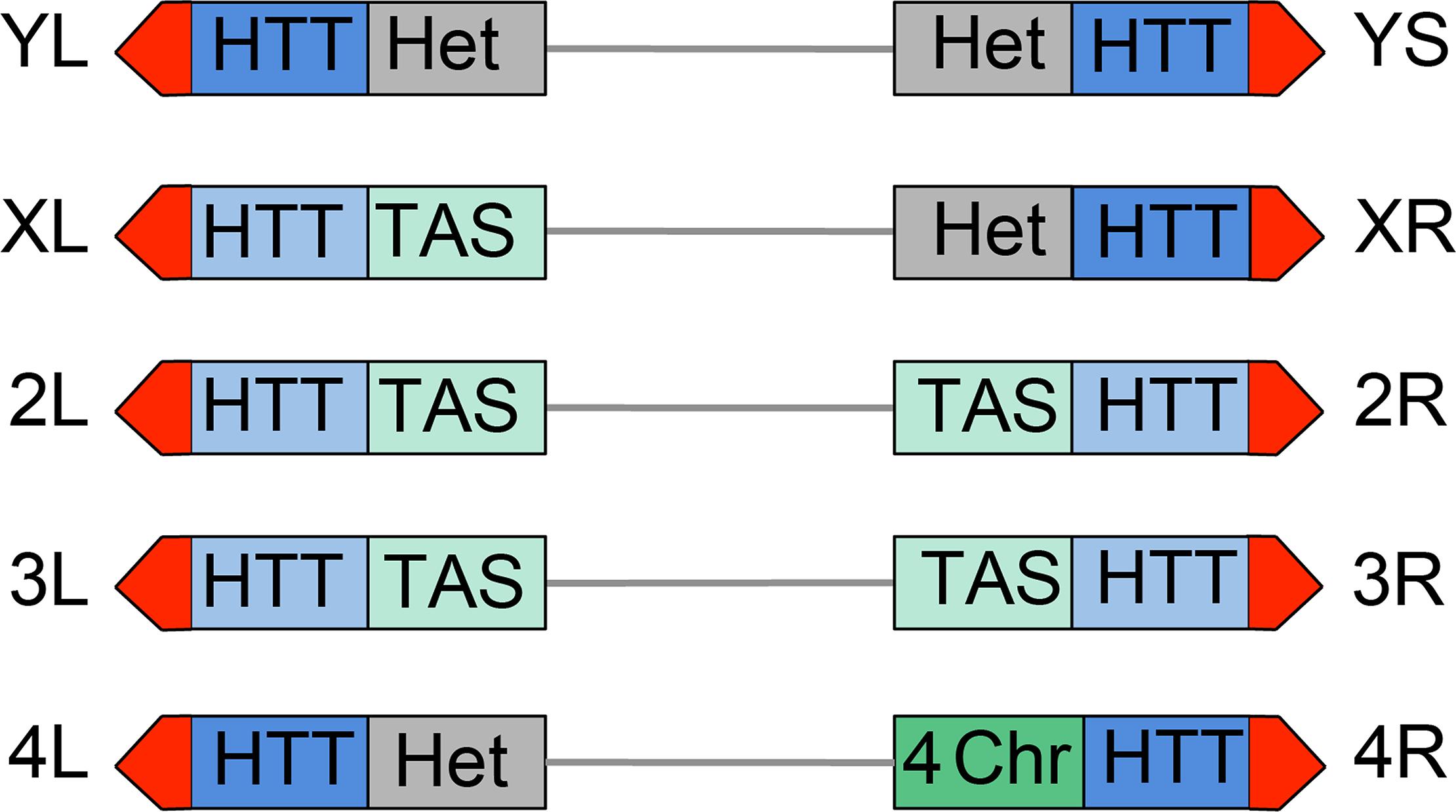 Structure of <i>Drosophila</i> telomeres and subtelomeres.