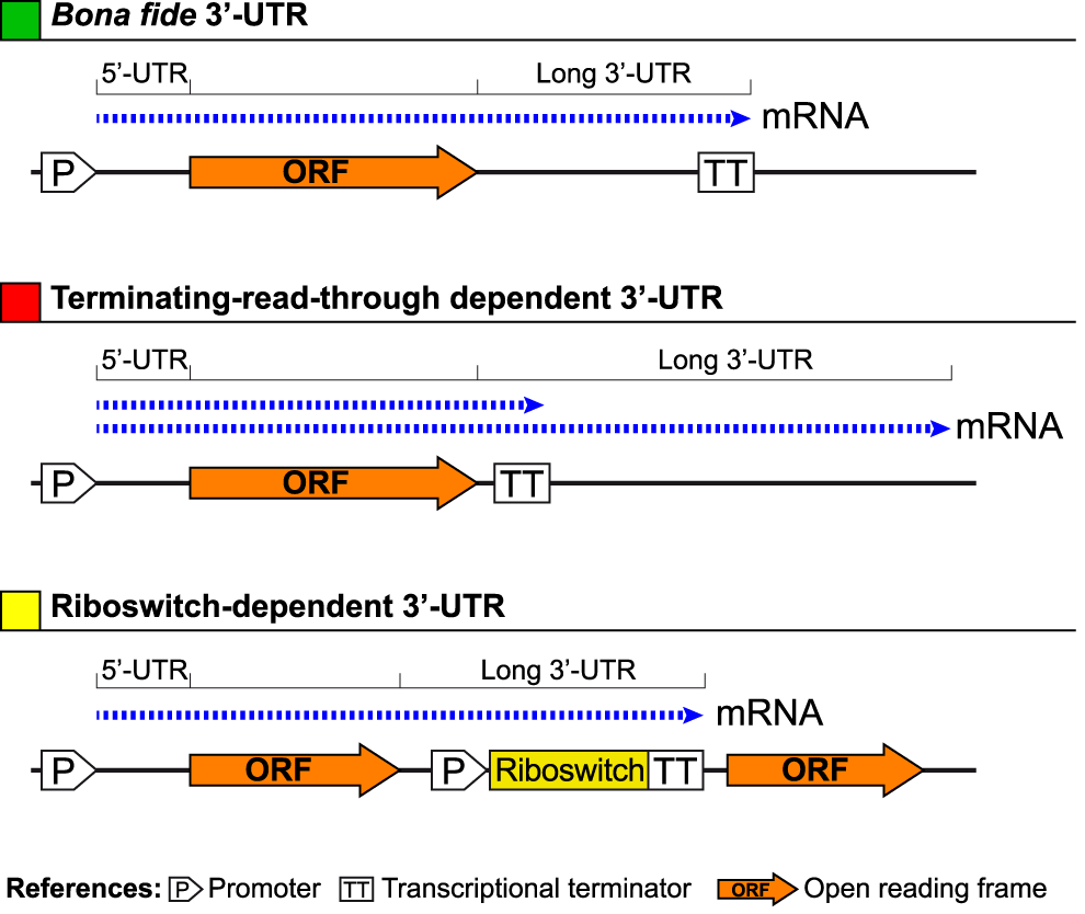 Schematic representation of how long bacterial 3′-UTRs can be generated.
