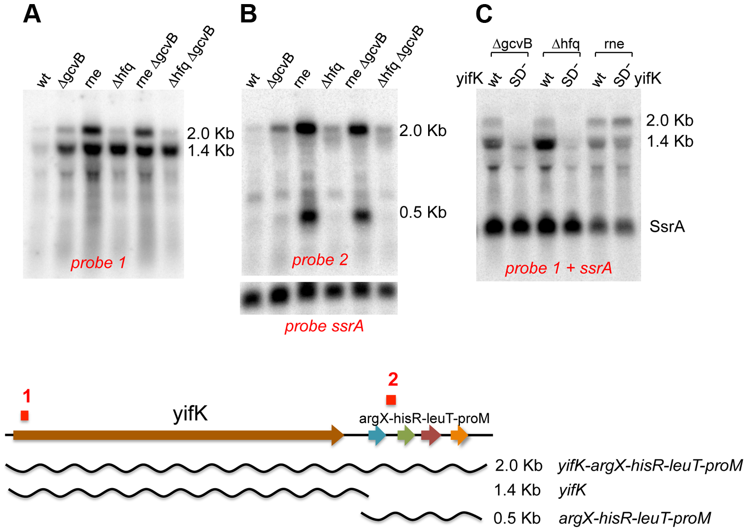 Northern blot analysis of <i>yifK</i> transcription.