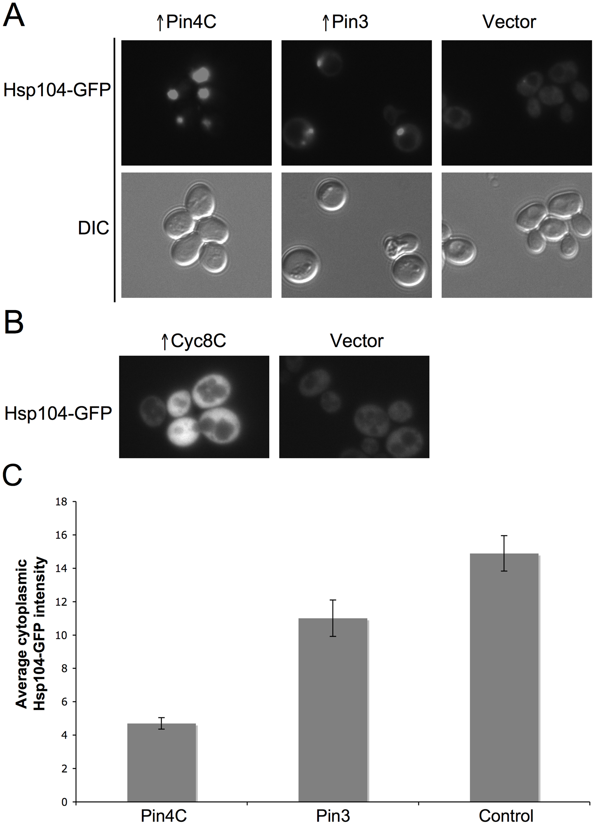 Effects of overexpressed Pin3 and Cyc8C on Hsp104.