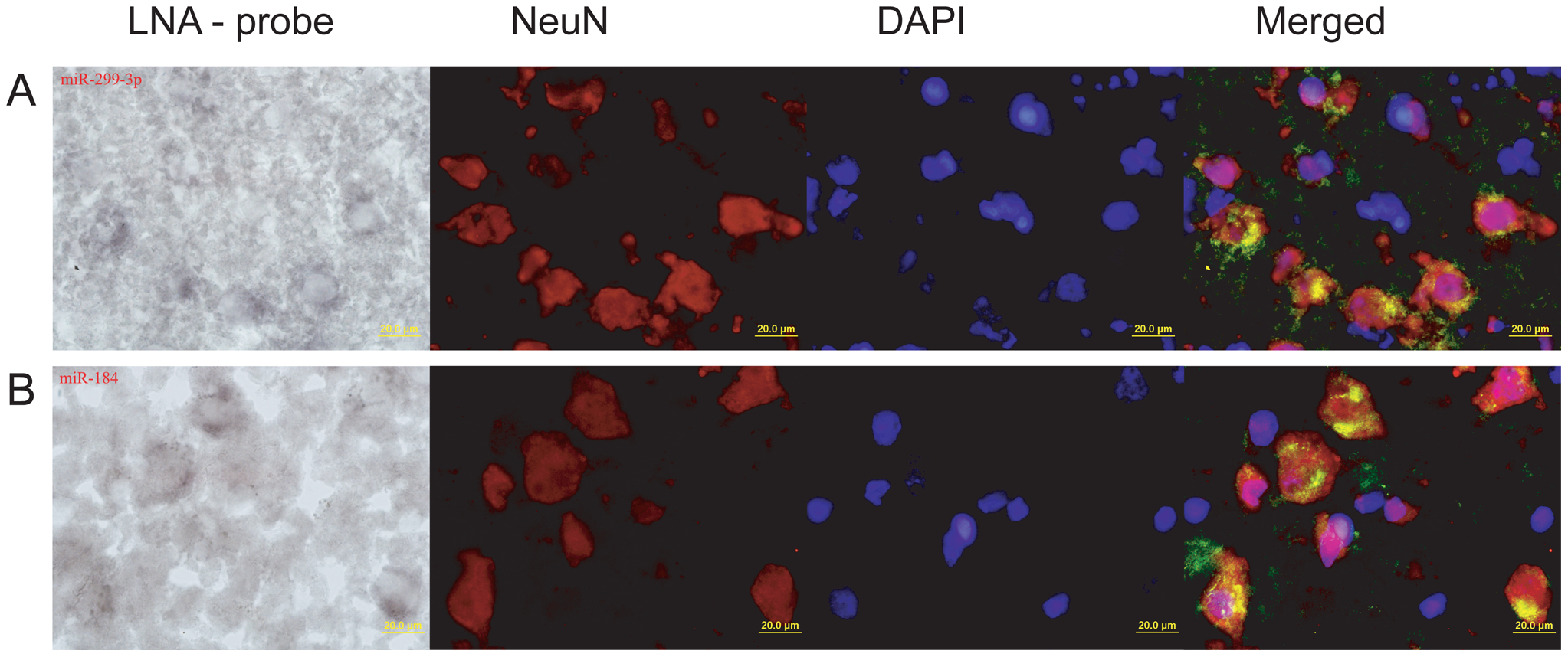 <i>In situ</i> staining of miR-184 and miR-299-3p in prefrontal cortex.