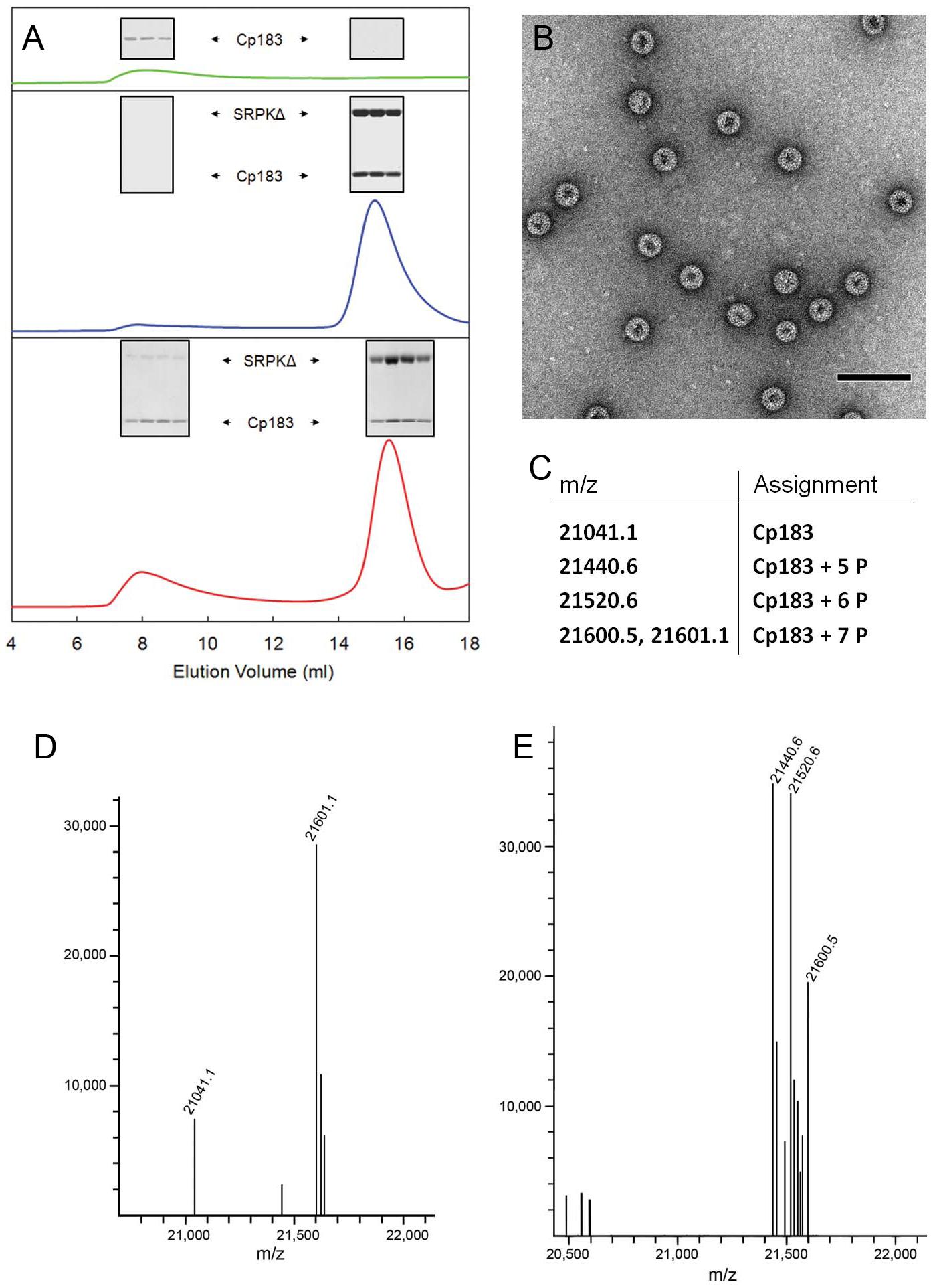 <i>In vitro</i> SRPKΔ-gated HBV capsid assembly.