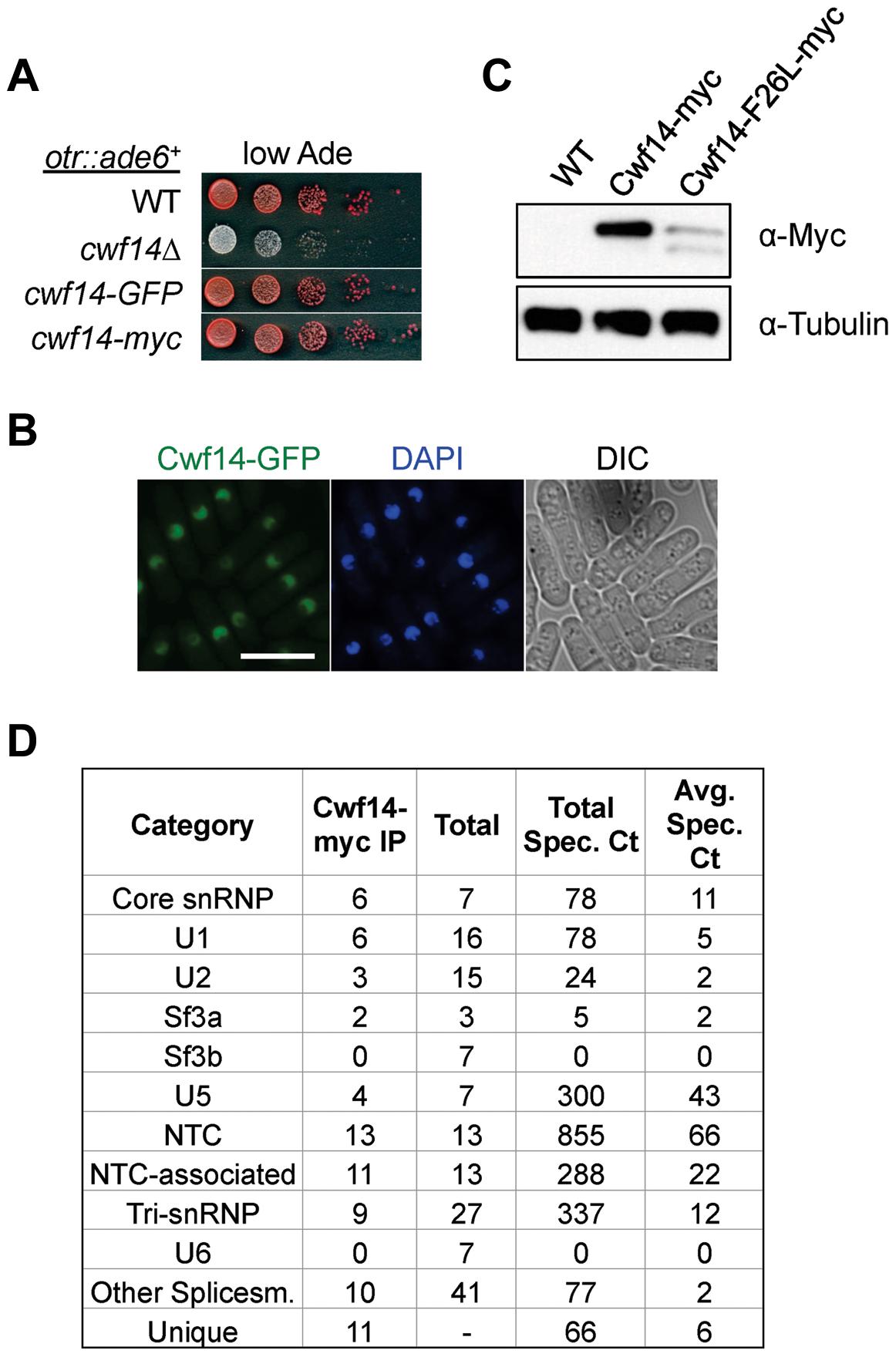 Cwf14 associates with the spliceosome.
