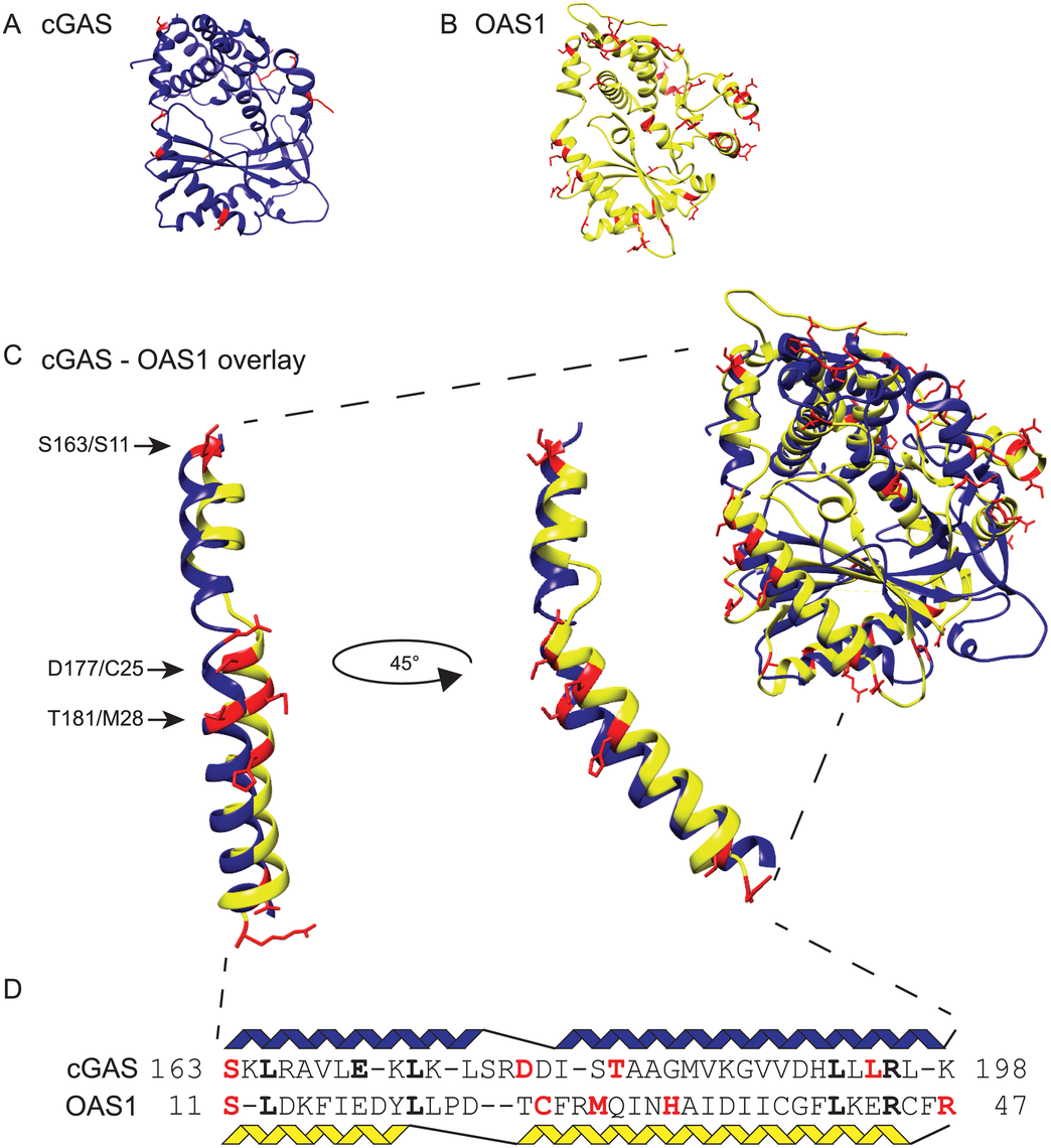 Structurally related cGAS and OAS1 proteins share positions under positive selection.