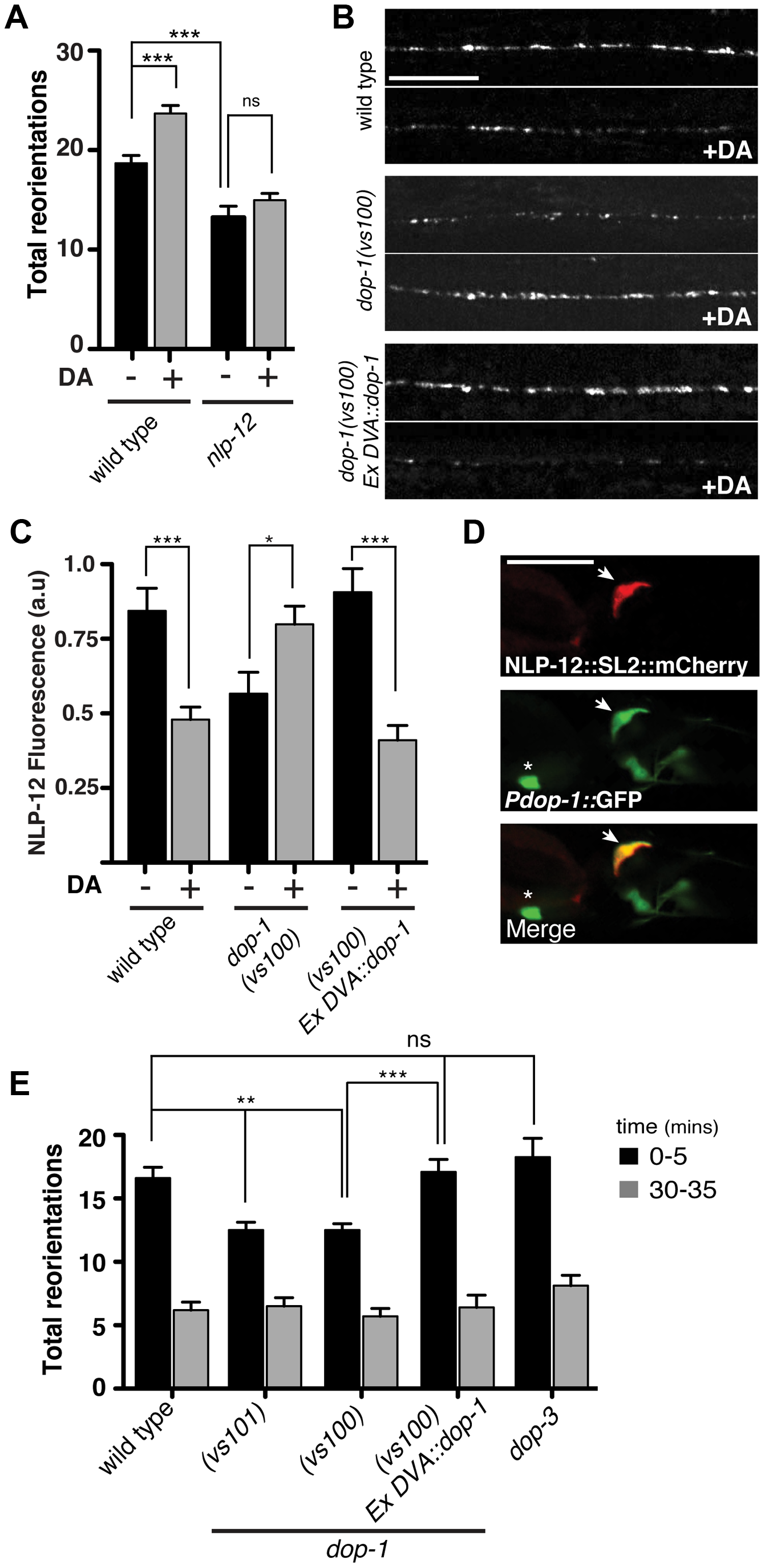 The dopamine receptor DOP-1 is required in DVA for NLP-12 modulation of food searching.