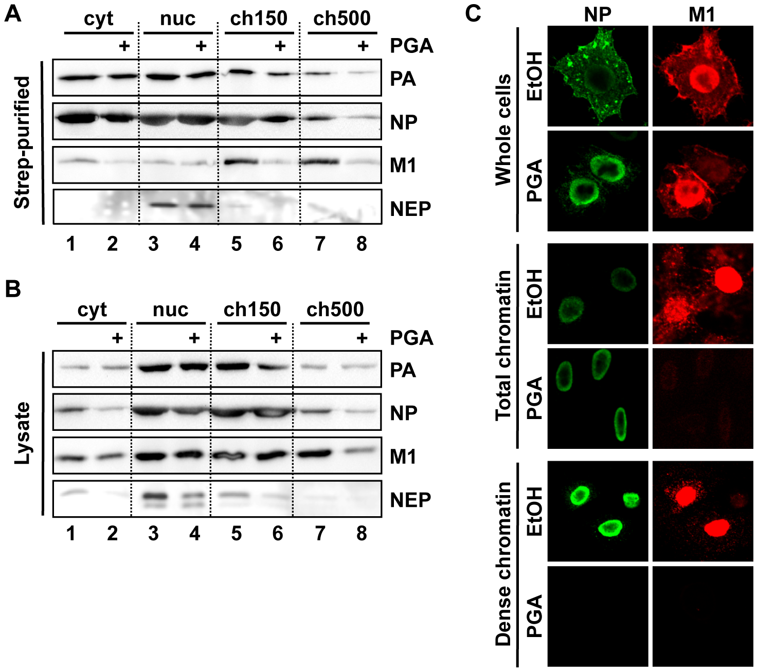 Depletion of chromatin-bound vRNPs after PGA treatment.