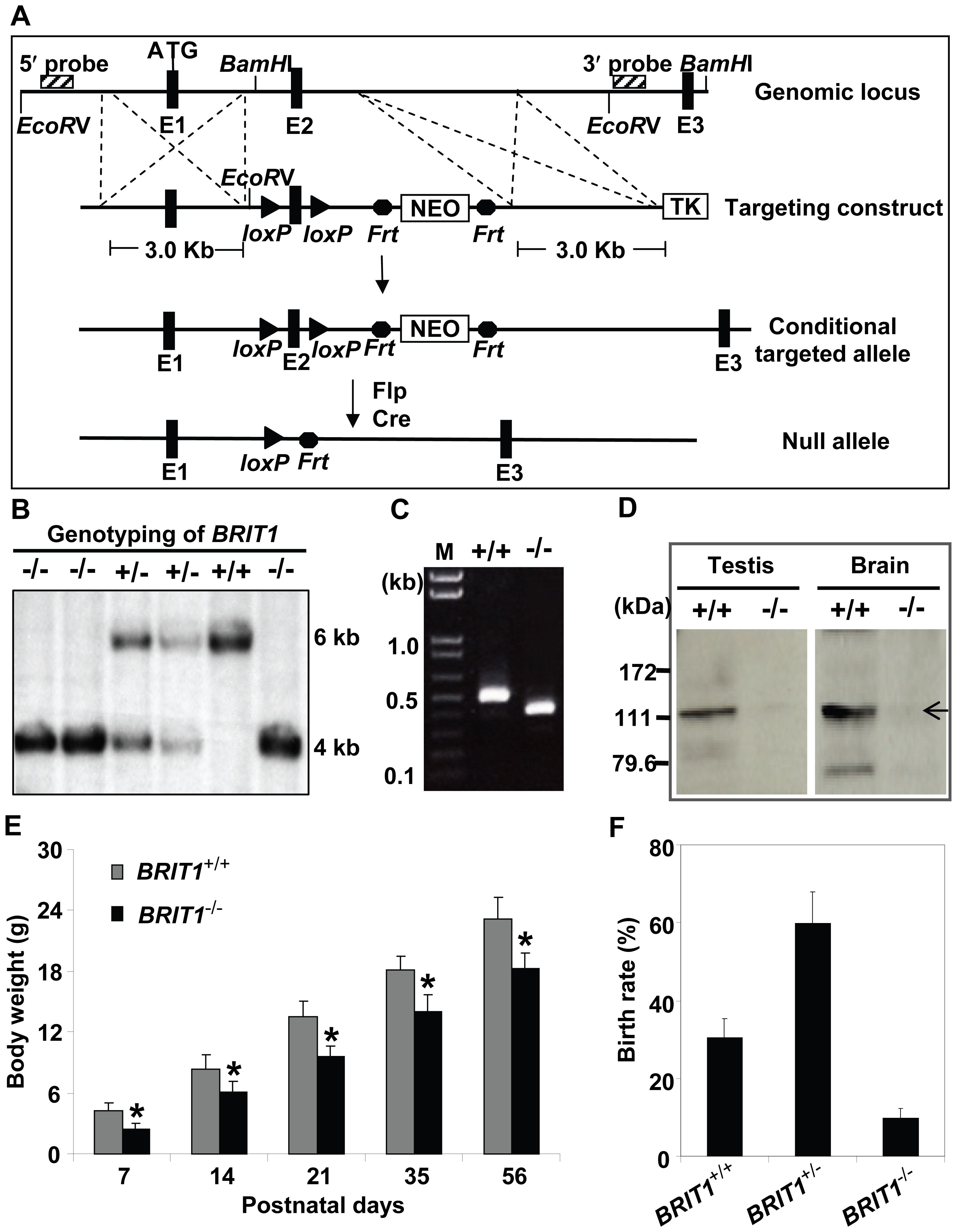 Generation and growth retardation of <i>BRIT1</i>-deficient mouse.