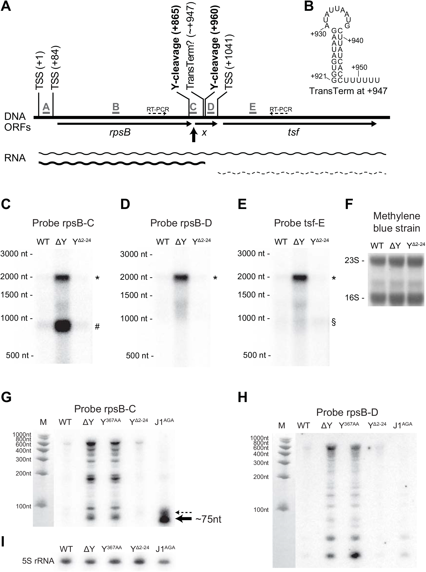 <i>rpsB</i> and <i>tsf</i> are co-transcribed via partial read-through of a transcriptional terminator, and both transcripts are stabilised in ΔY.