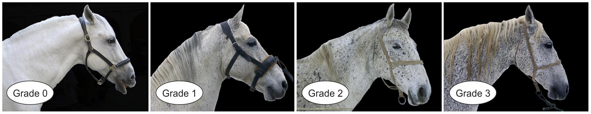 Variation of speckling grade in four grey Lipizzan horses.