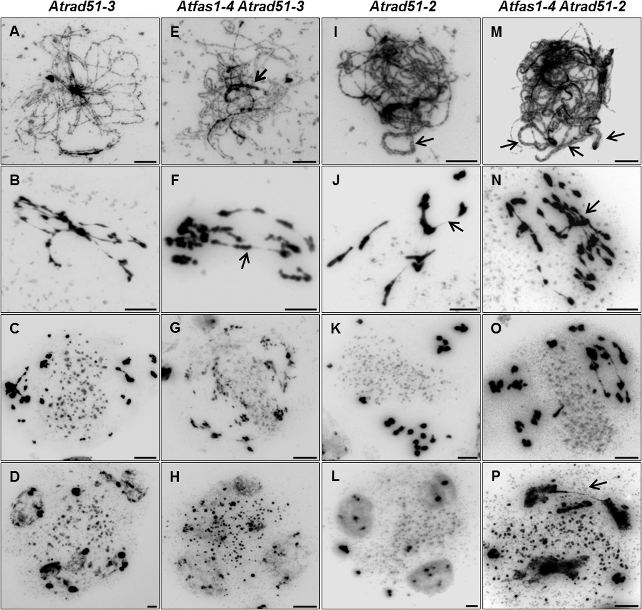 <i>Atfas1-4 Atrad51</i> genetic analysis. (A-D) <i>Atrad51-3</i> KO mutant plants.