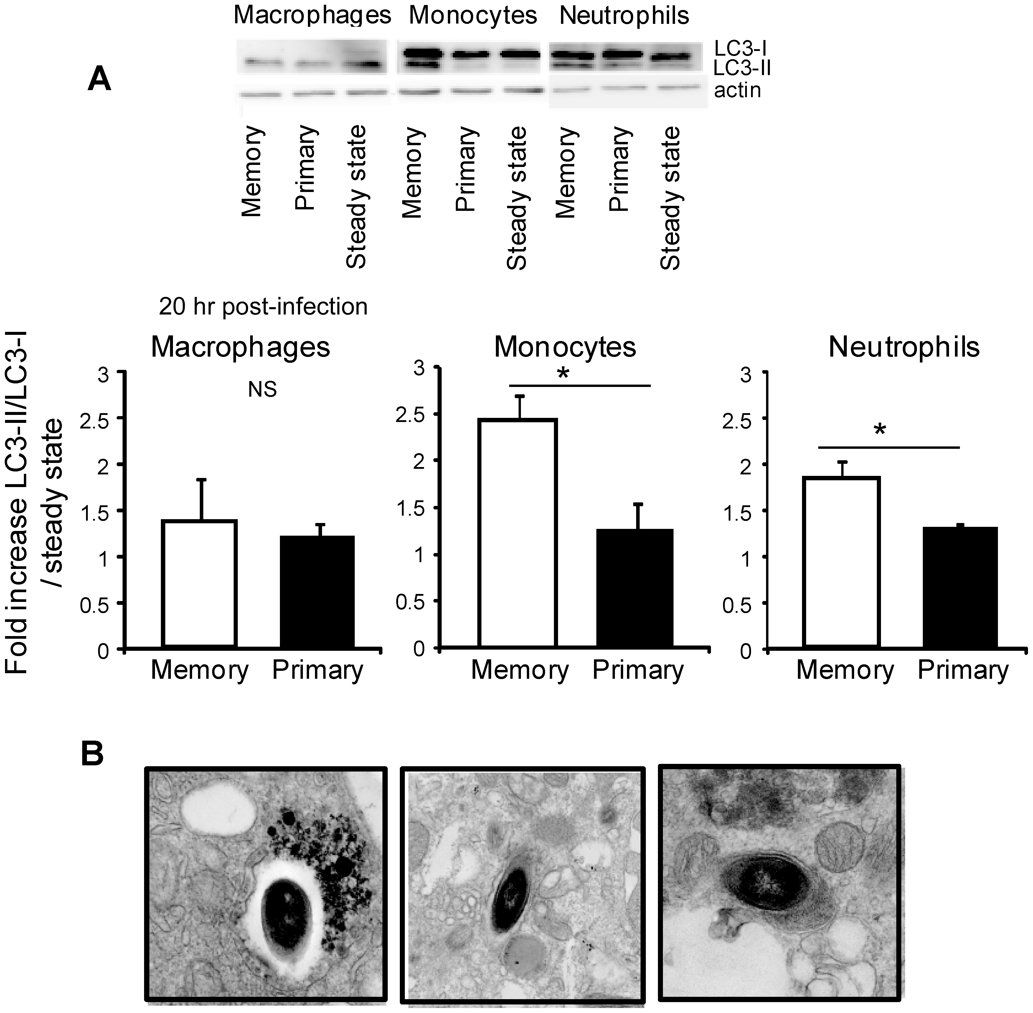 The reactive oxygen species generated inside inflammatory monocytes and neutrophils from memory mice induce autophagy.