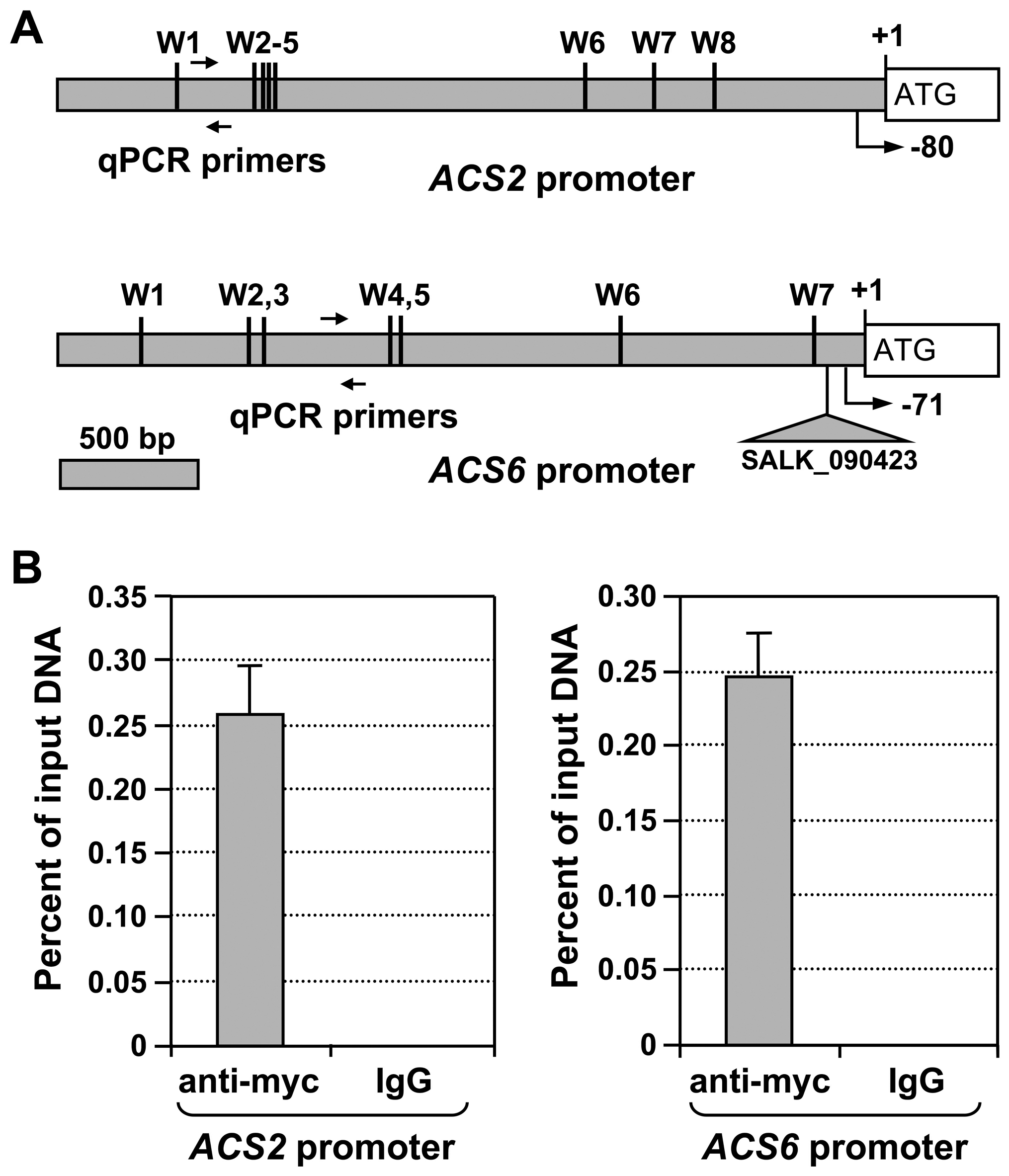 WRKY33 transcription factor binds to the promoter of <i>ACS2</i> and <i>ACS6</i> genes <i>in vivo</i>.