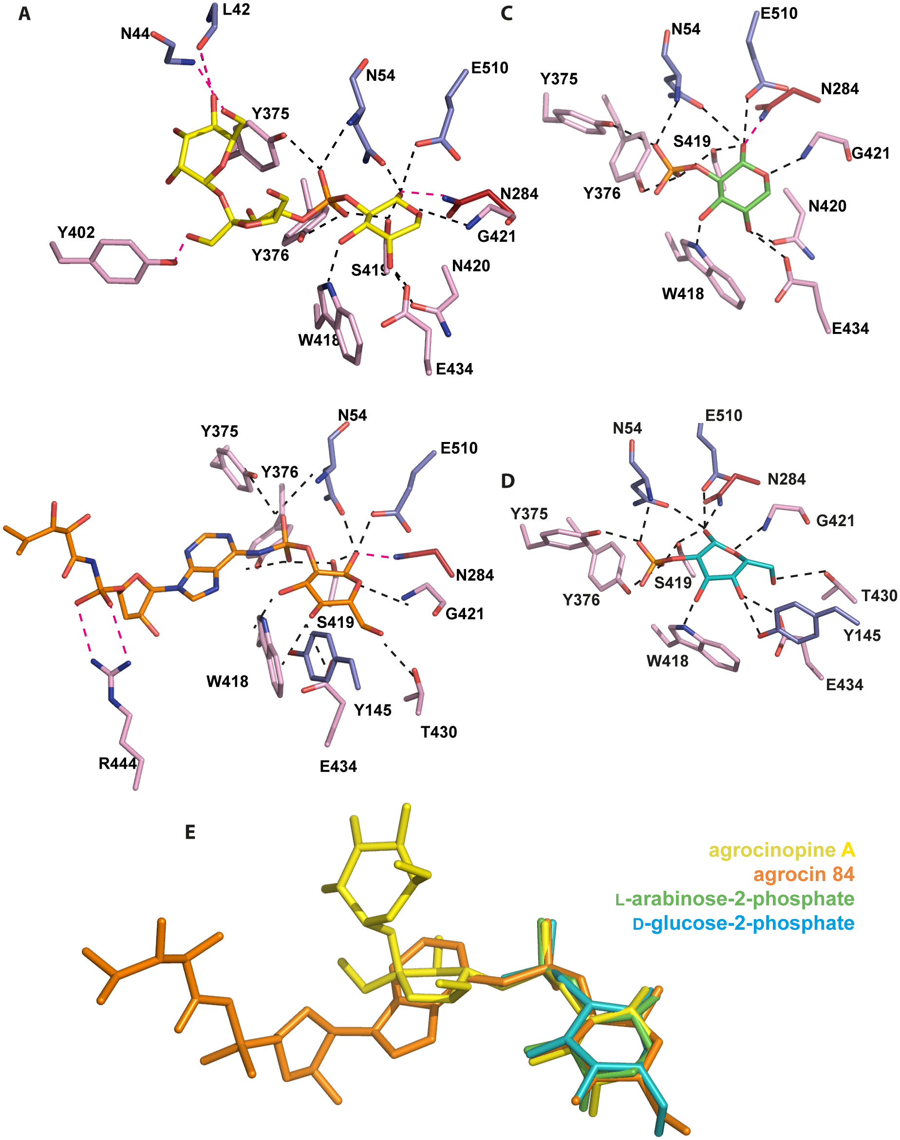 Ligand-binding site of AccA.