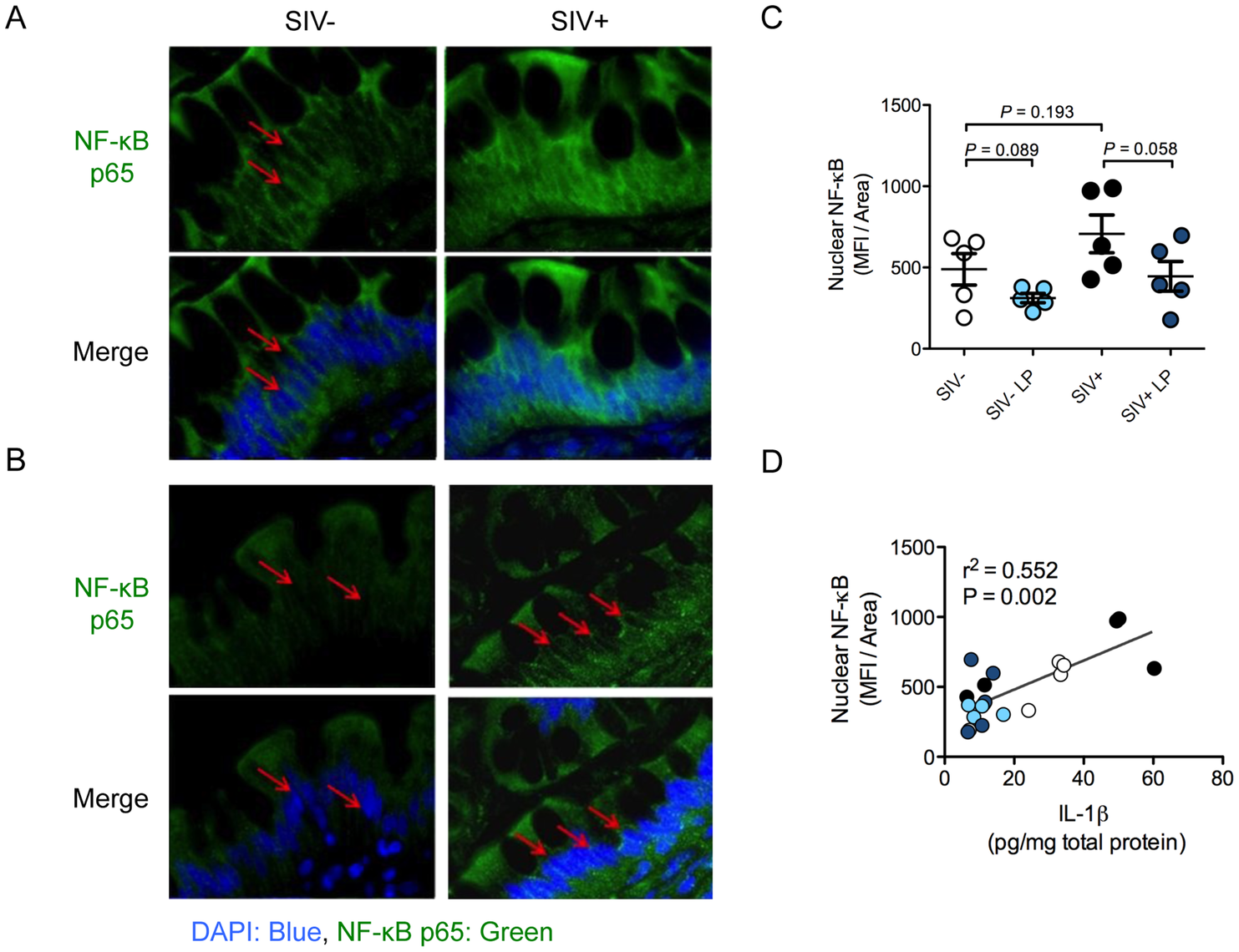 <i>L. plantarum</i> reduces IL-1β induced epithelial damage by inhibition of NF-κB activation.