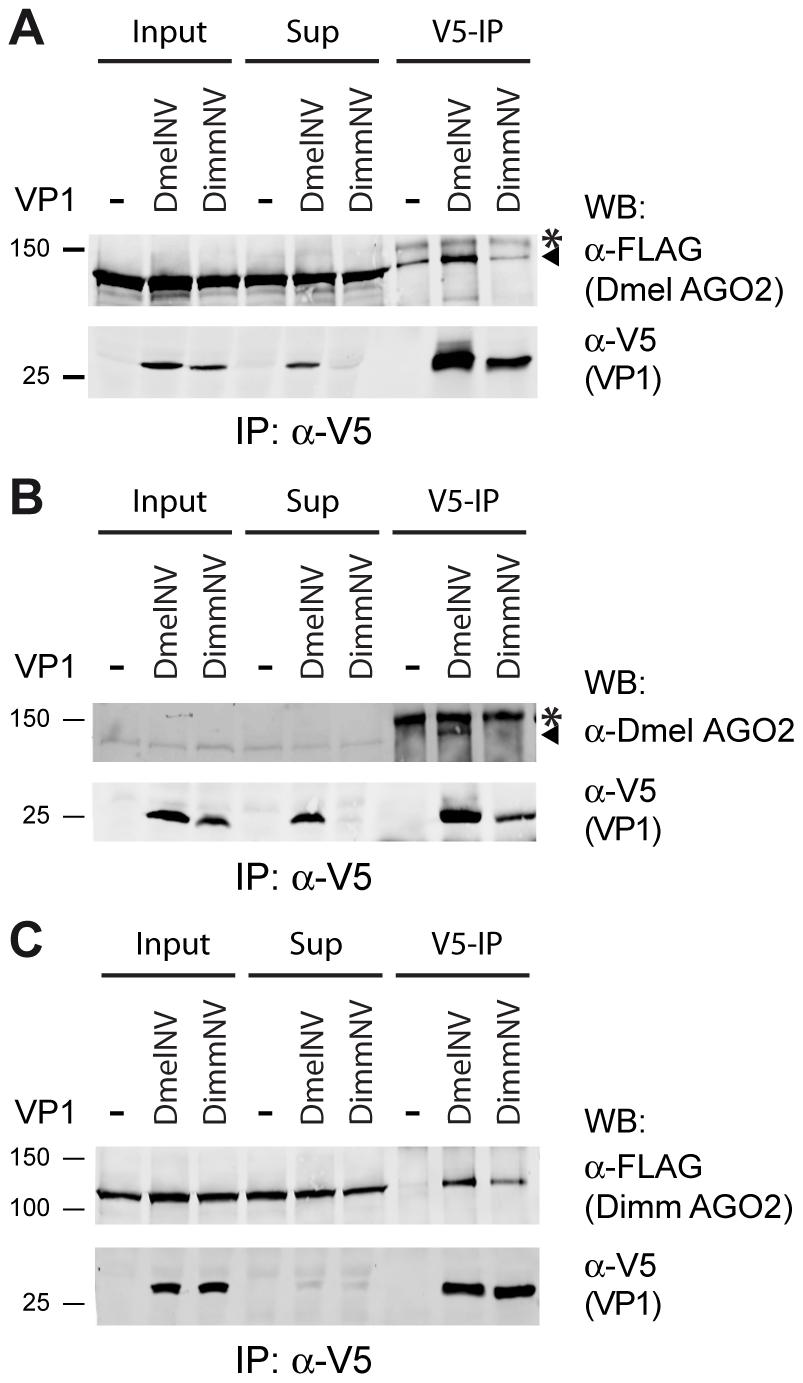 Species-specific interaction between VP1 and AGO2.