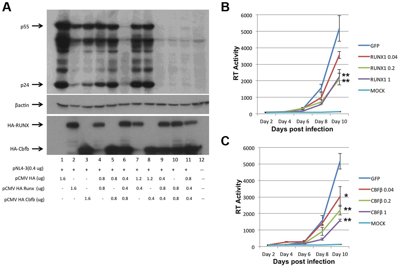 RUNX1 and CBF-β are capable of repressing HIV-1 replication.