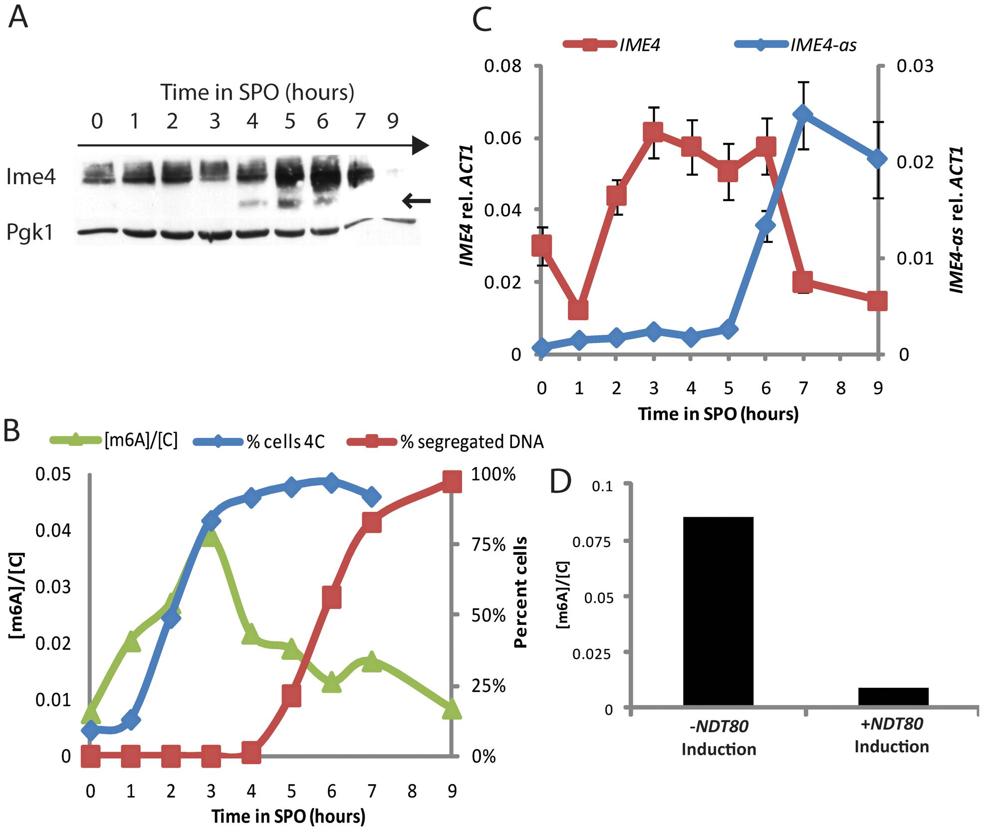 m<sup>6</sup>A accumulates prior to meiotic divisions.