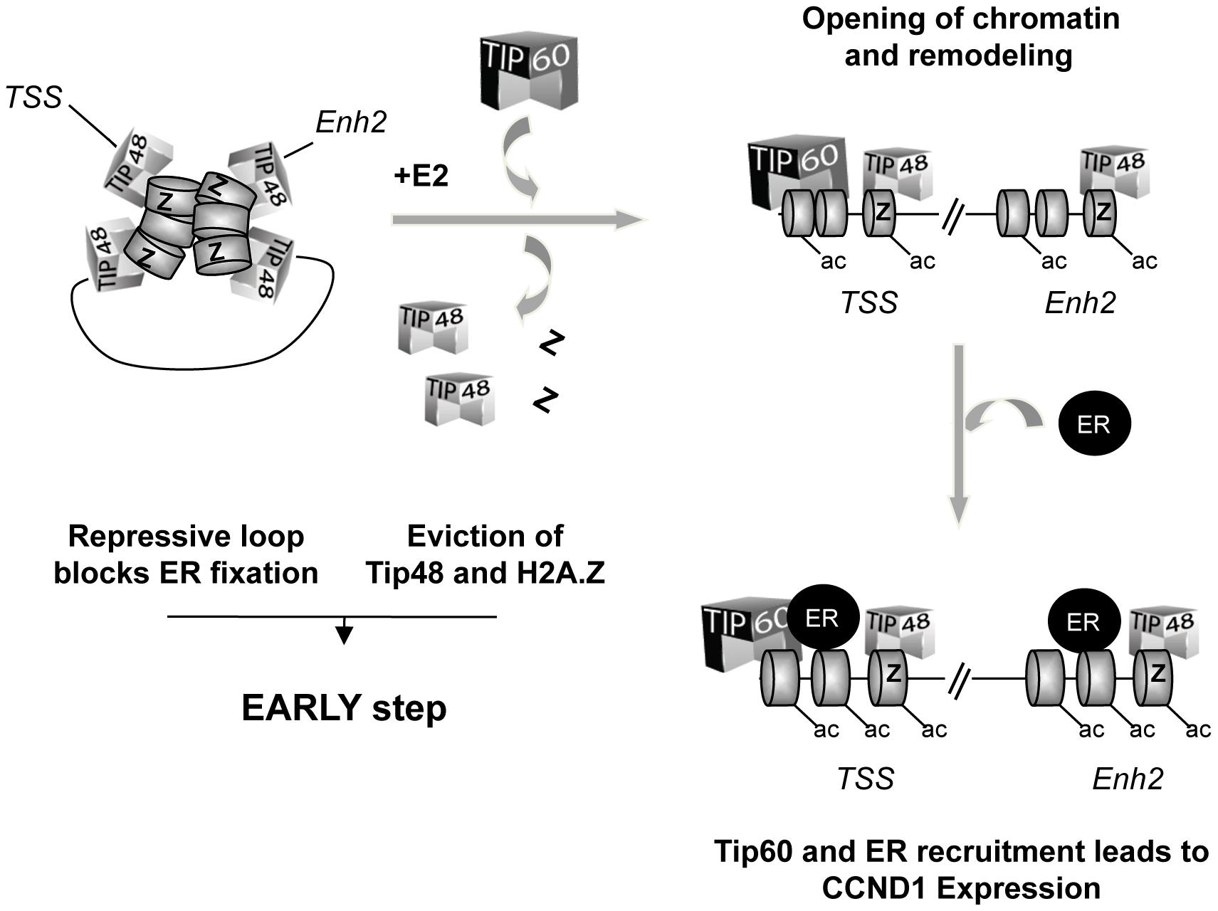 Model for the role of TIP48, H2A.Z, and TIP60 in initiation of transcription activation of <i>CCND1</i> via promoter enhancer crosstalk.