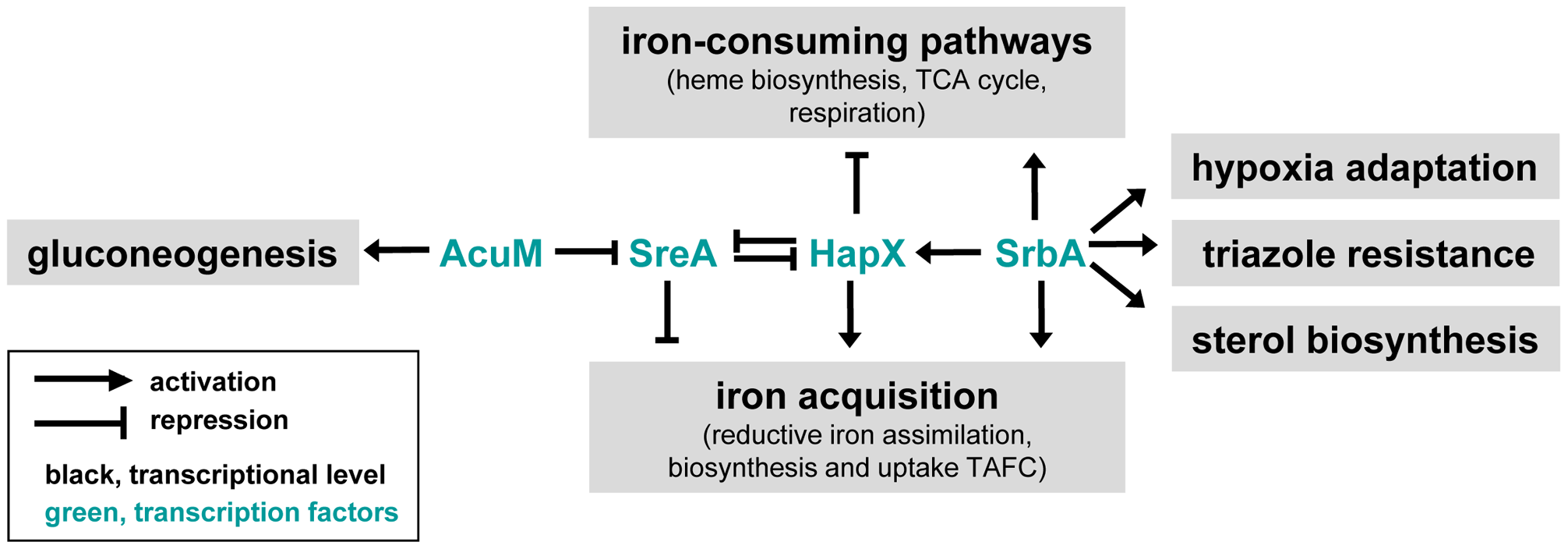 Model for relationships between the transcriptional regulators SrbA, SreA, HapX, and AcuM and their roles in iron acquisition and ergosterol biosynthesis.