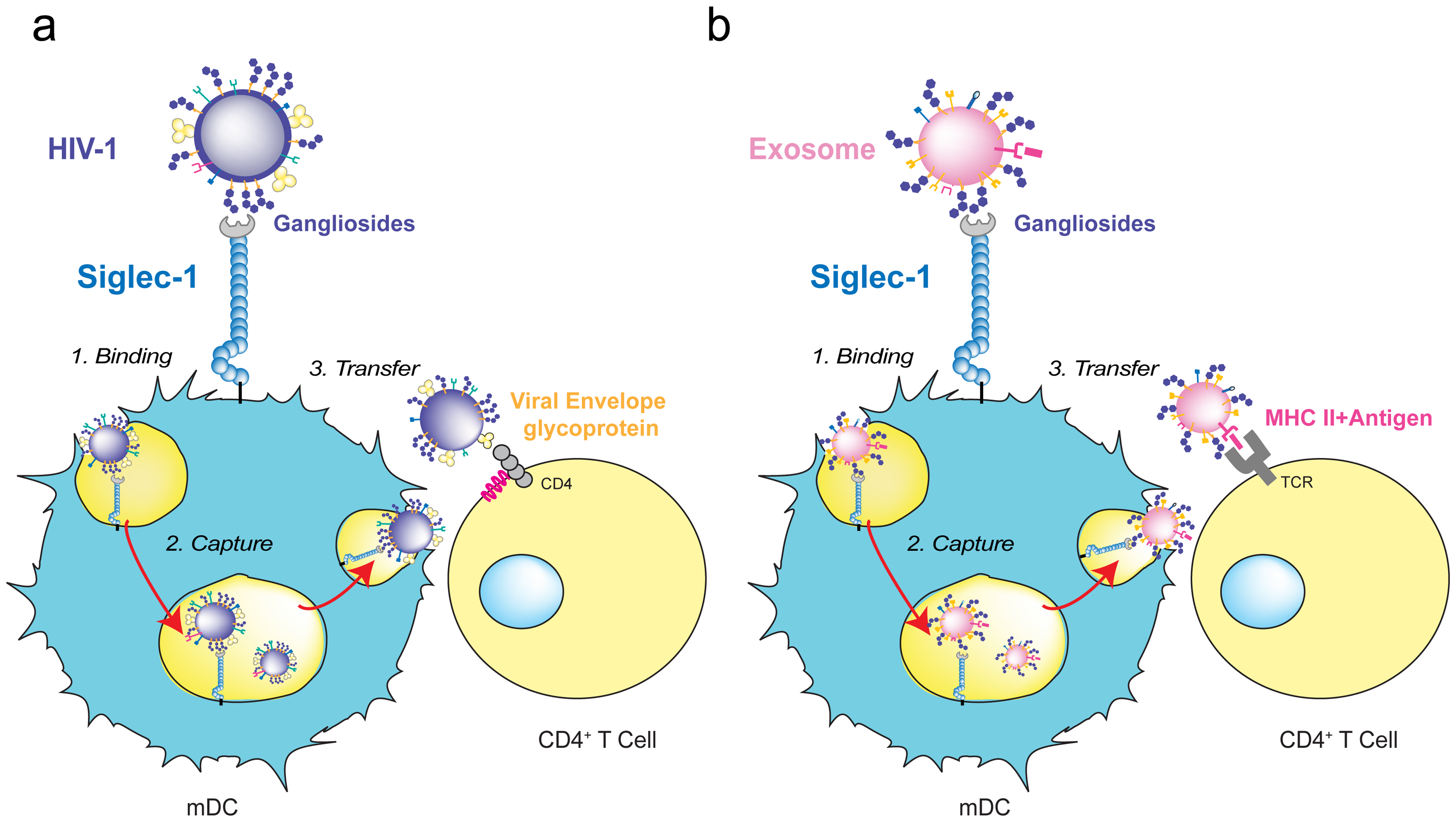 HIV-1 and exosome targeting to Siglec-1.