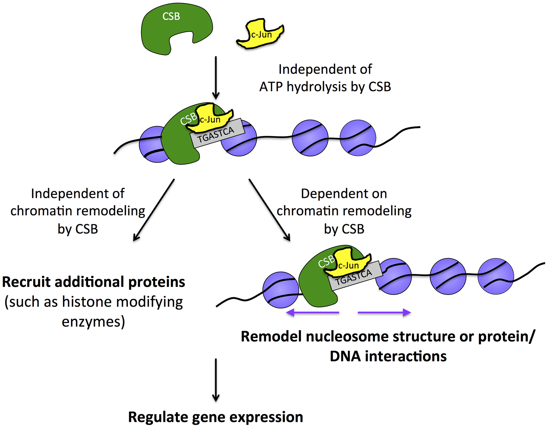 Model for the targeting of CSB to chromatin for transcription regulation.
