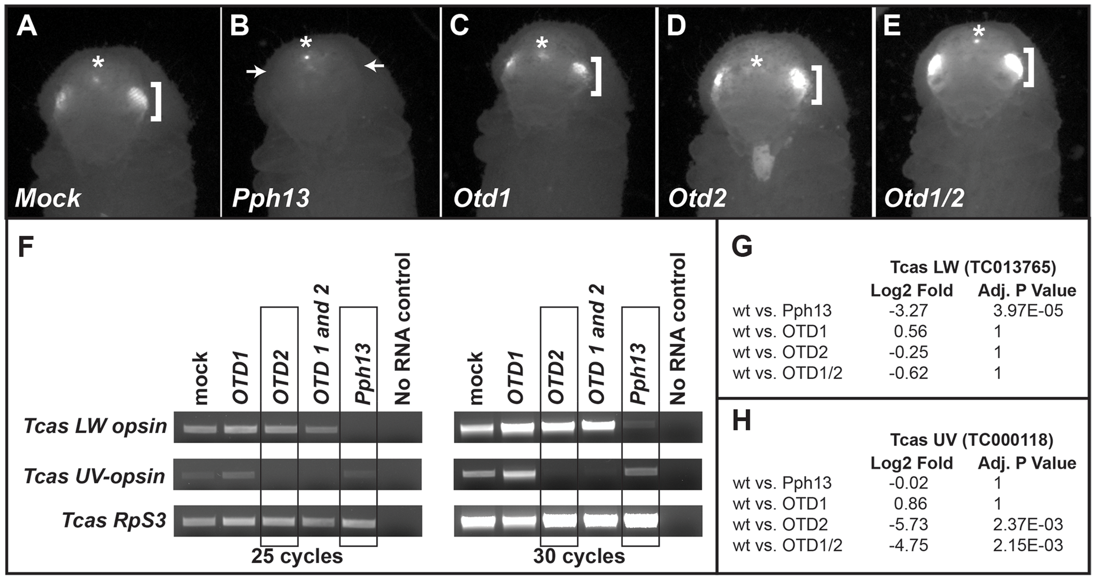 <i>Tribolium</i> Pph13 and Otd2 are required for r-opsin expression.