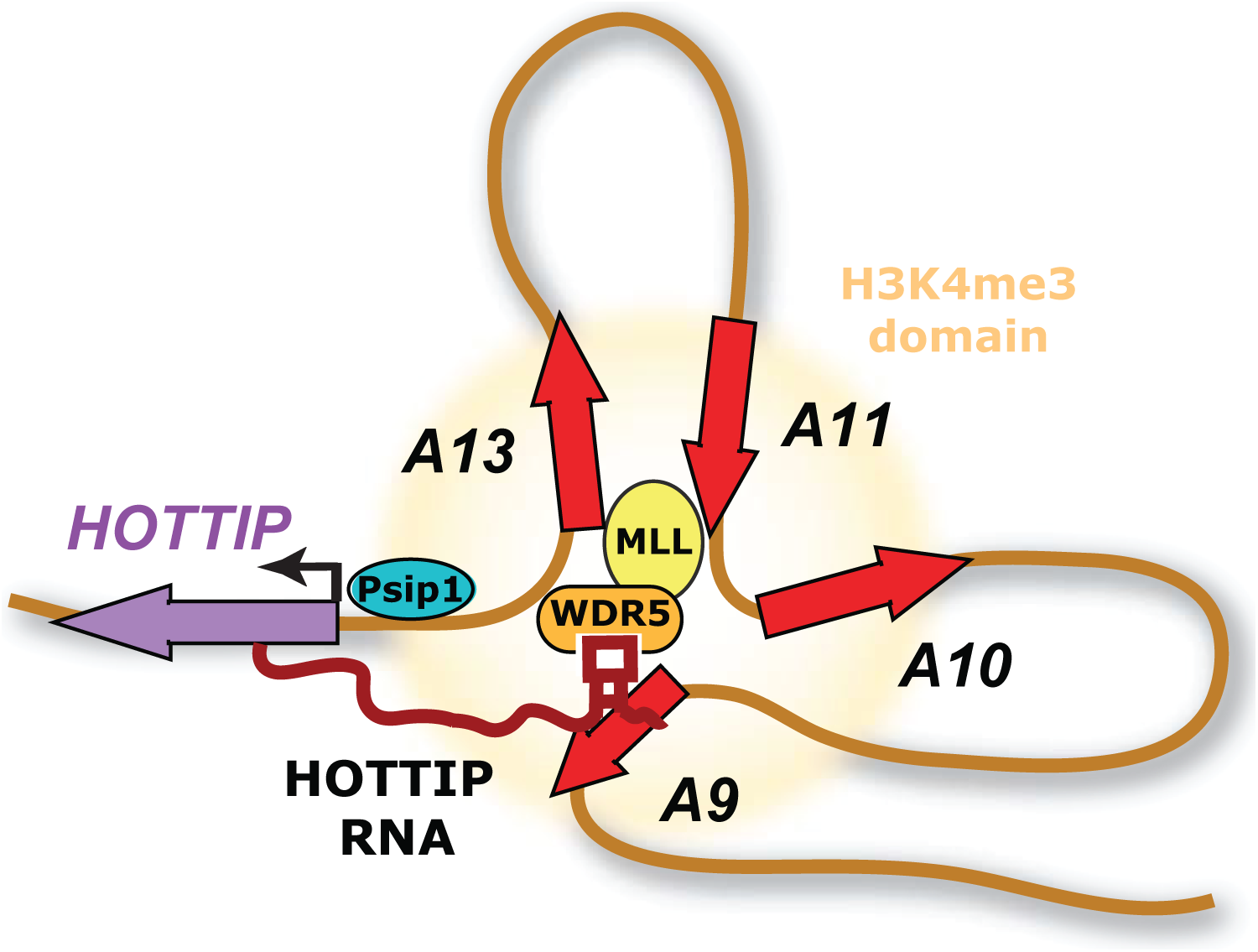 Model of positive cofactor 4 (PC4) and splicing factor 2 (SF2) interacting protein (Psip1) action.