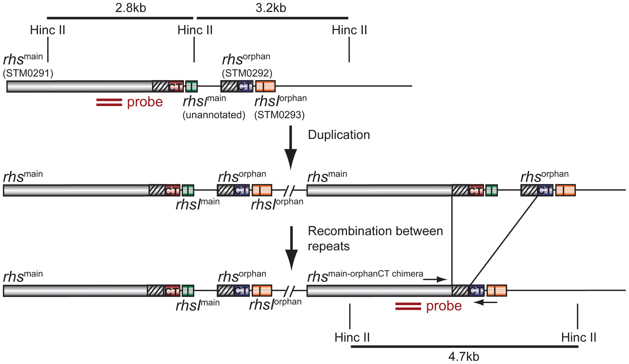 Proposed mechanism of <i>rhs</i> locus rearrangement in evolved inhibitor cells.