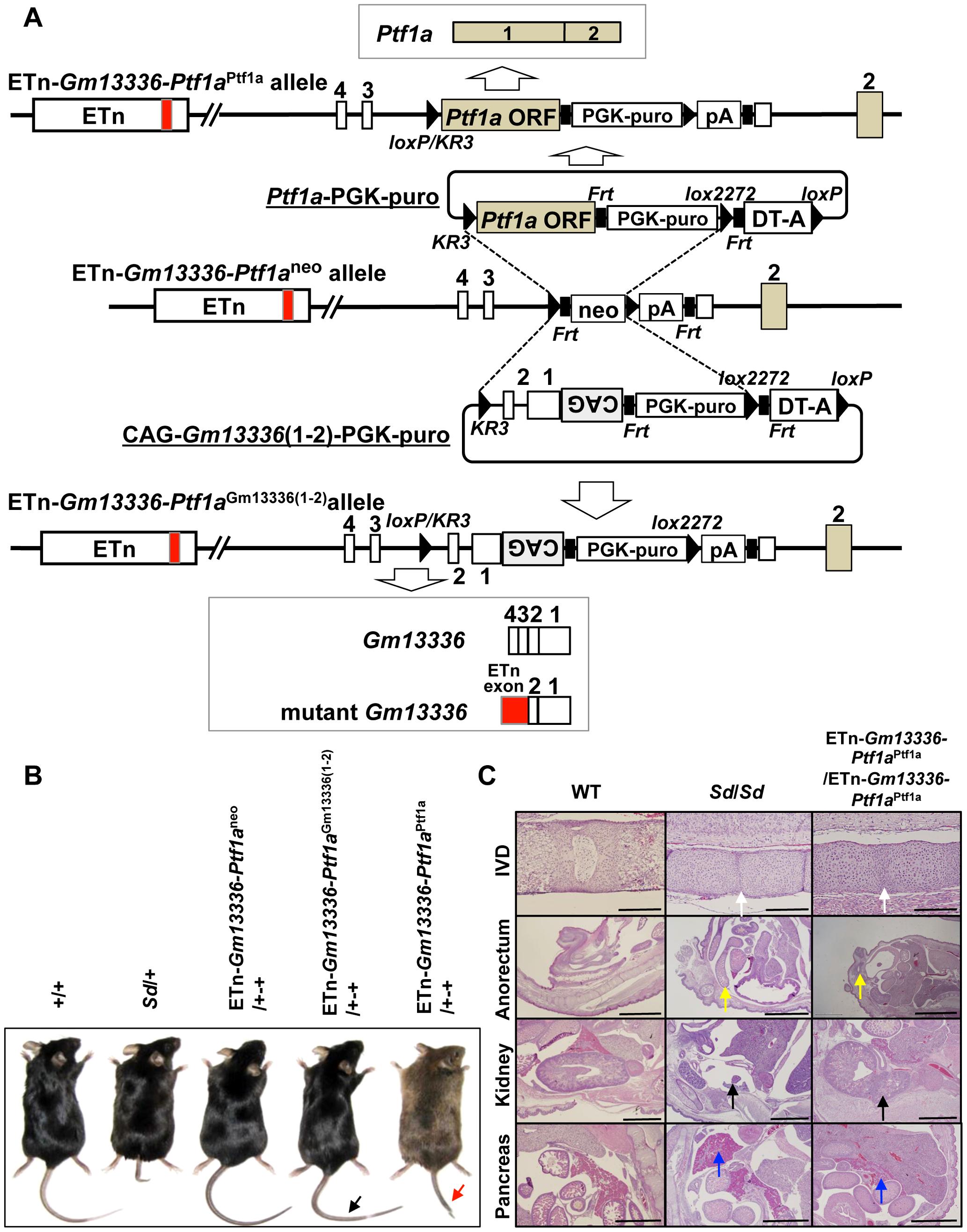 Identification of <i>Ptf1a</i> as a cause of <i>Sd.</i>