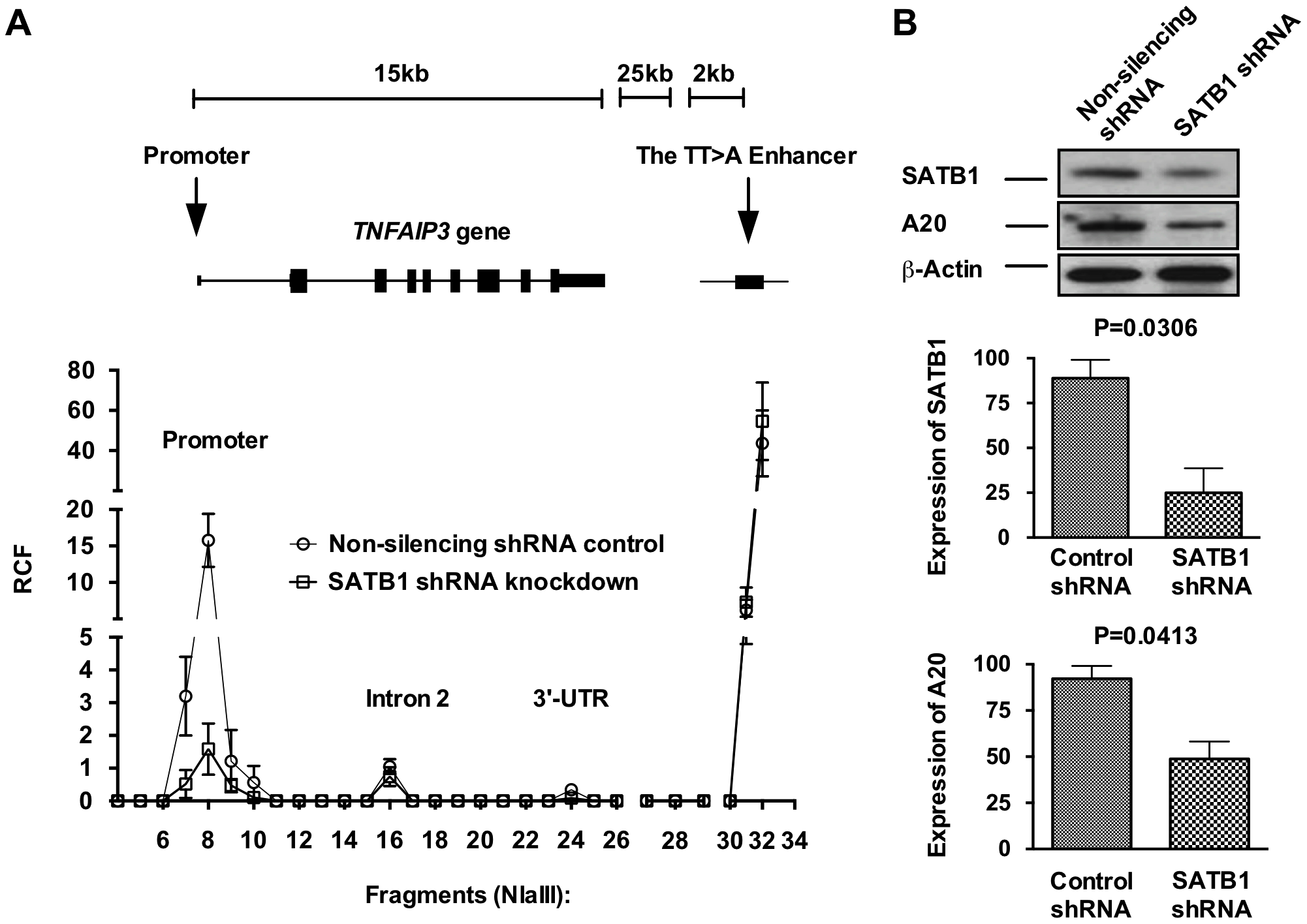 SATB1 is required for the TT>A enhancer-promoter interaction and <i>TNFAIP3</i> transcription.