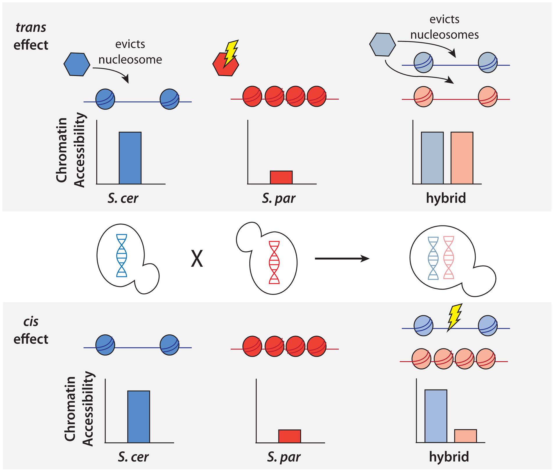 Schematic of approach to detect <i>cis</i> and <i>trans</i> effects on chromatin accessibility.