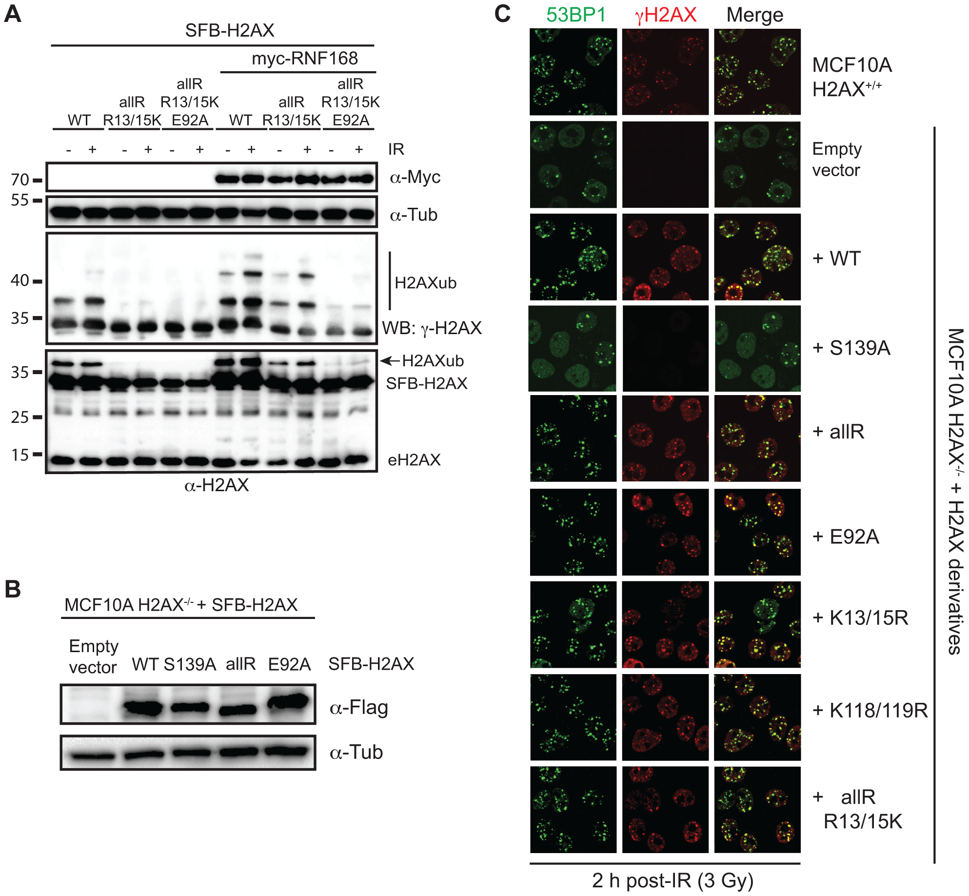 Regulation of H2AX-K13/K15ub by RNF168 requires the acidic patch.