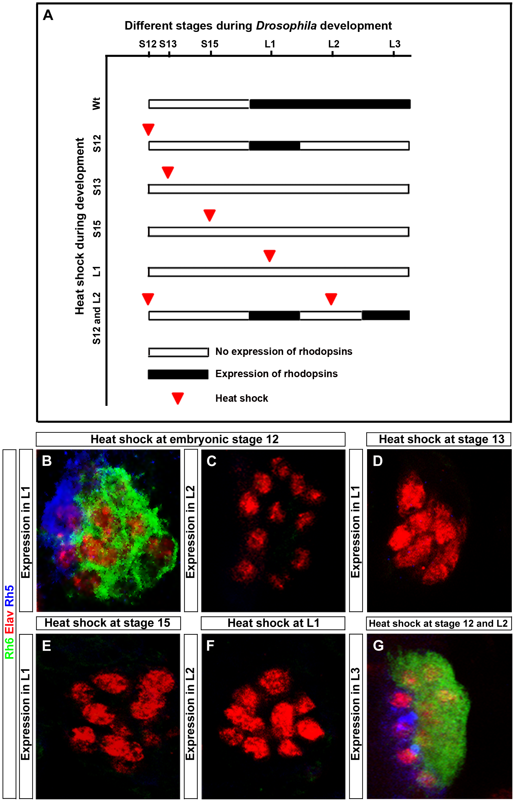 Rescue of the <i>hazy<sup>−/−</sup></i> mutant phenotype in the larval eye.