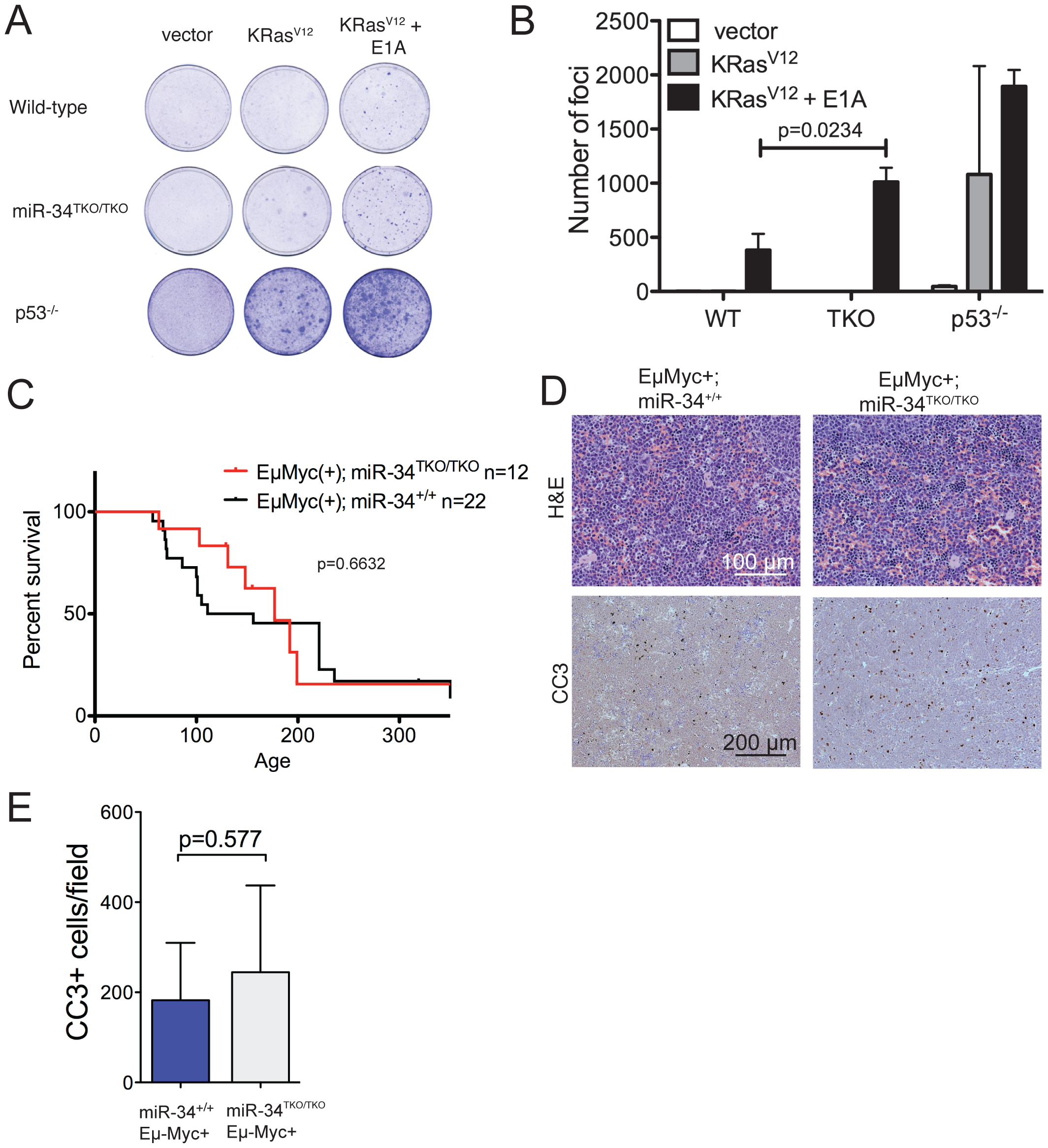 Oncogene-induced transformation in miR-34<sup>TKO/TKO</sup> fibroblasts and mice.
